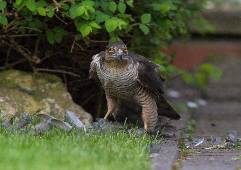 Sparrowhawk  by gazclarke1974