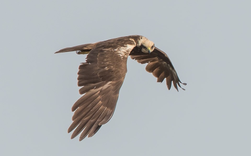 Marsh Harrier  by gazclarke1974