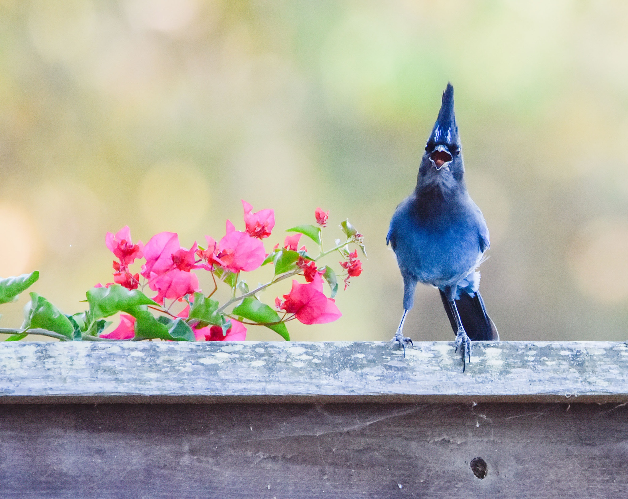 steller's jay sing song by Judy Tseng