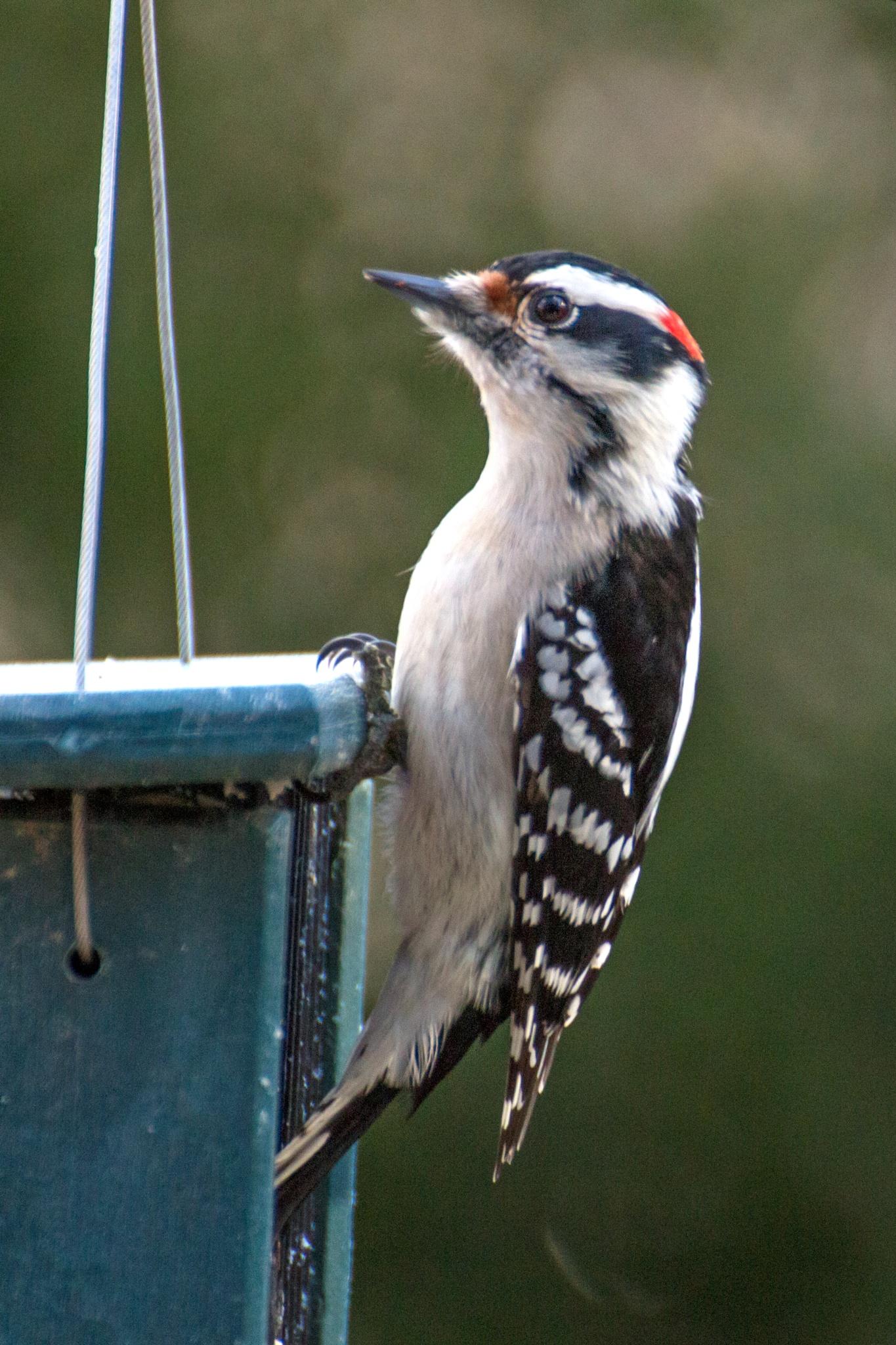 Downy Woodpecker by Judy Florio