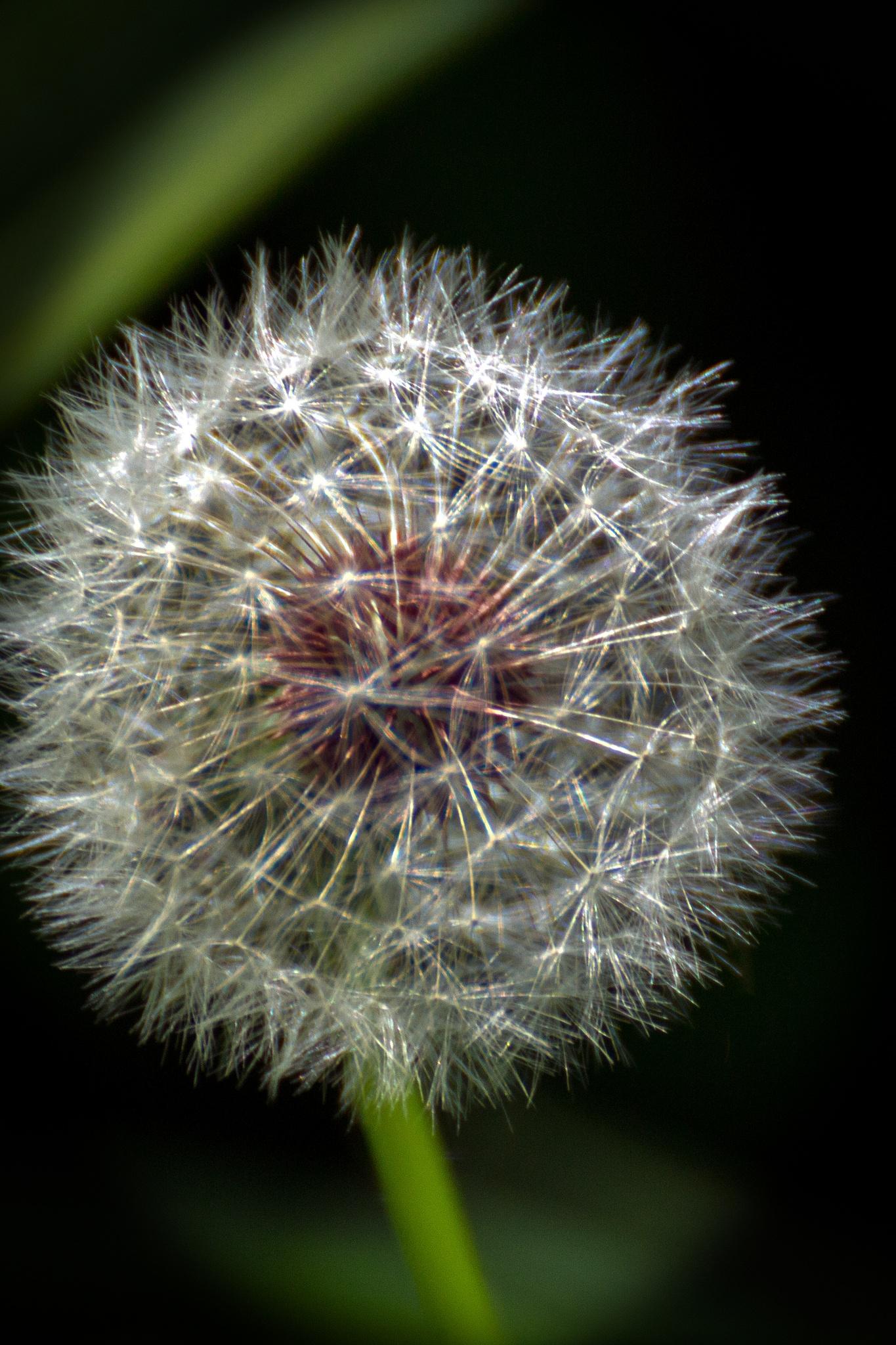 Dandelion Up Close by Judy Florio