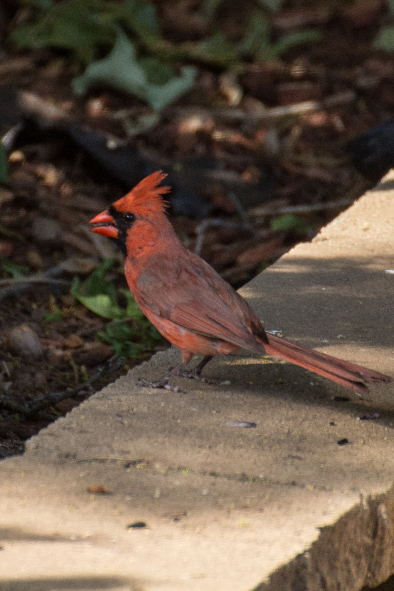 Male Cardinal I by Judy Florio