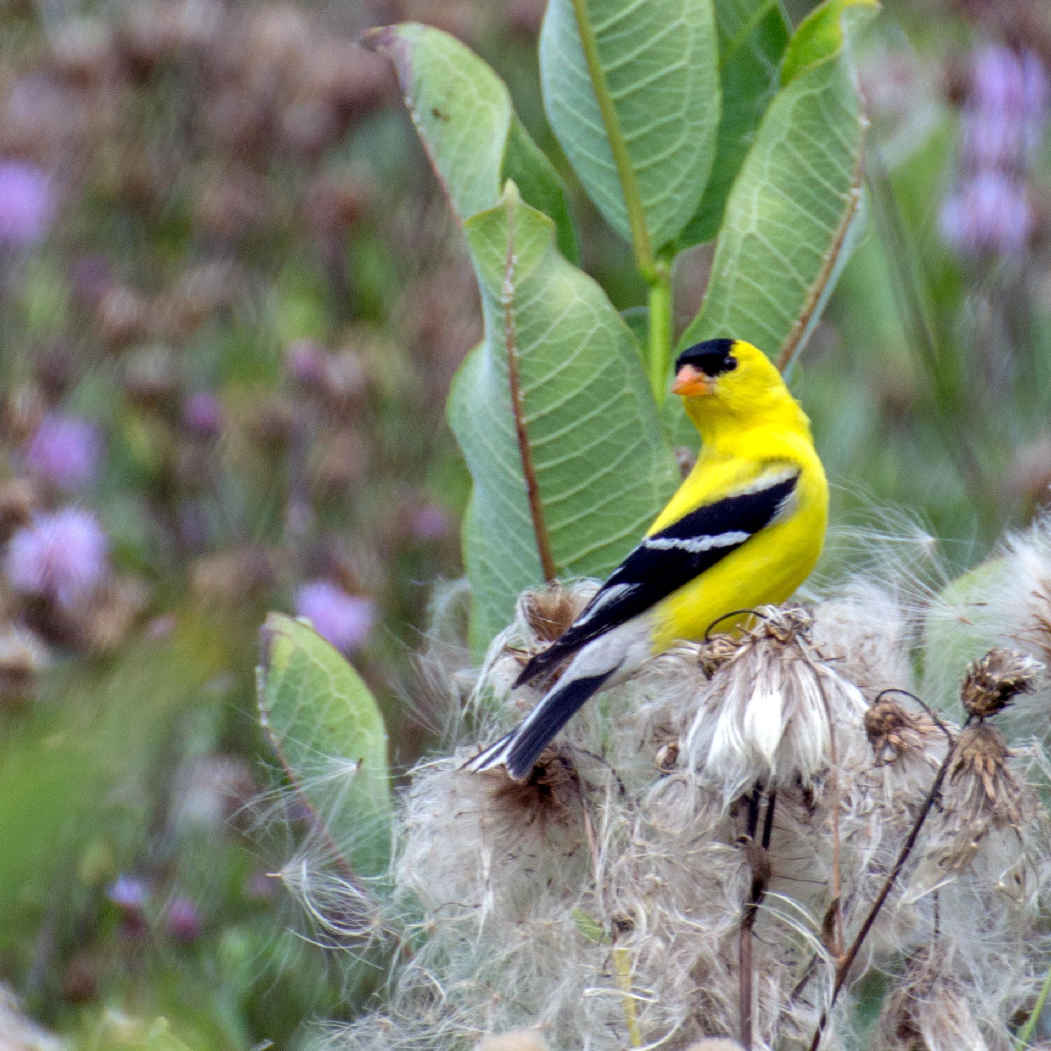 American goldfinch by Judy Florio