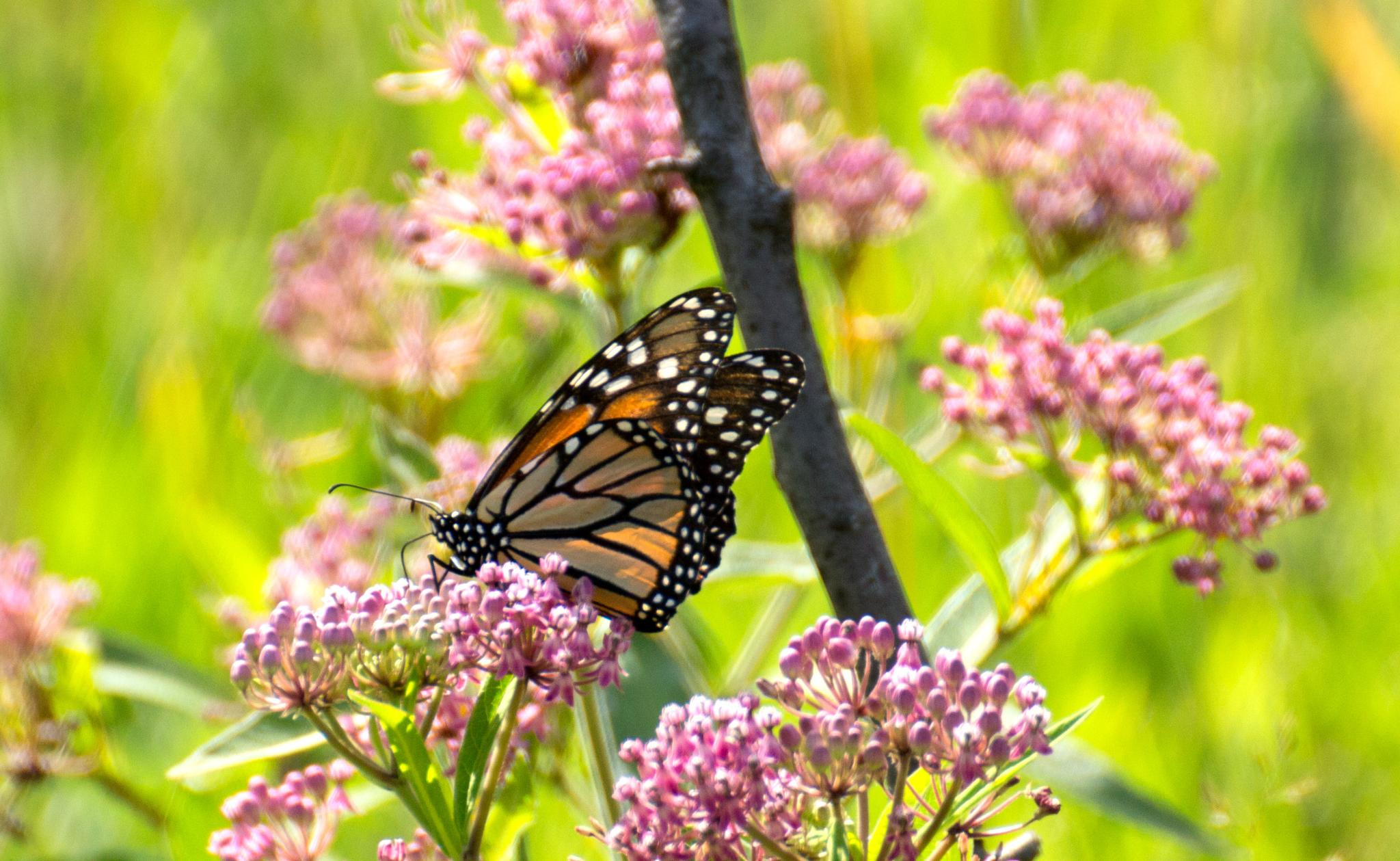 Photo in Animal #butterfly #monarch #summer #meadow #lenape park