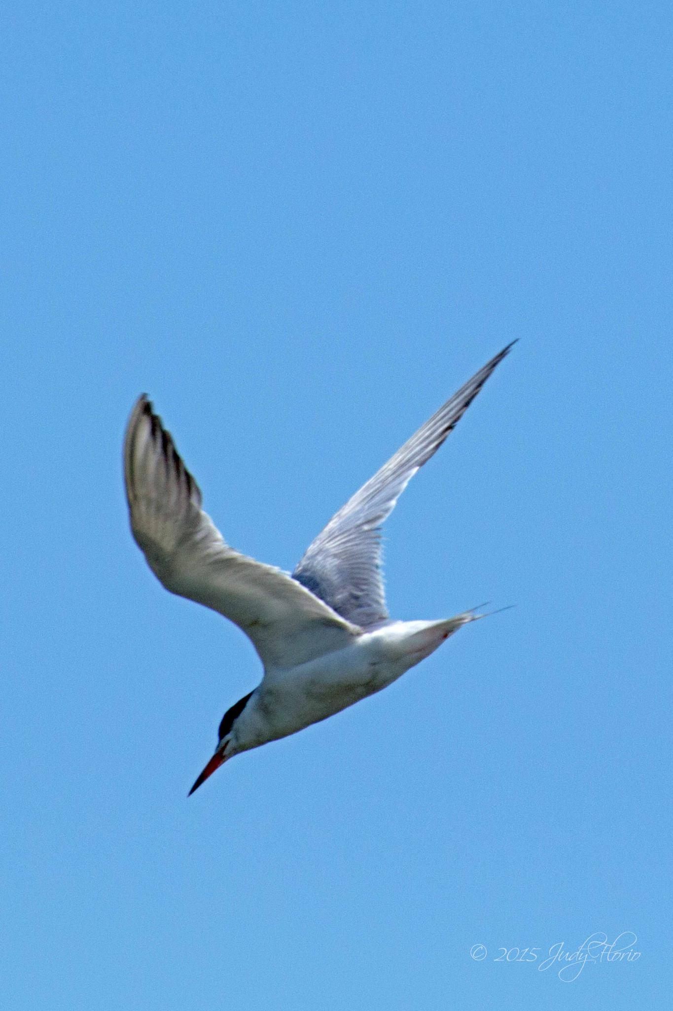 Diving tern by Judy Florio