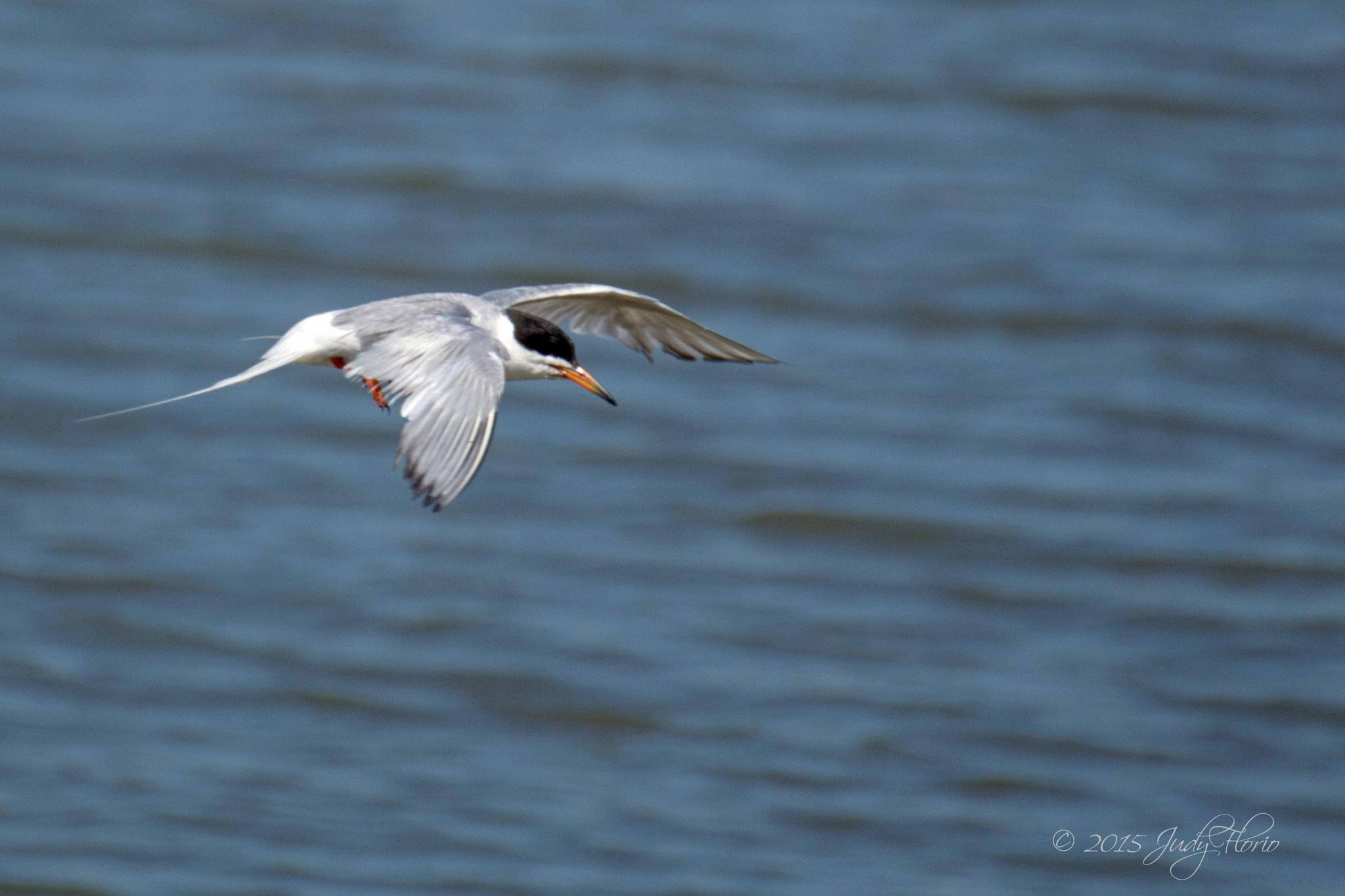 Flying tern by Judy Florio
