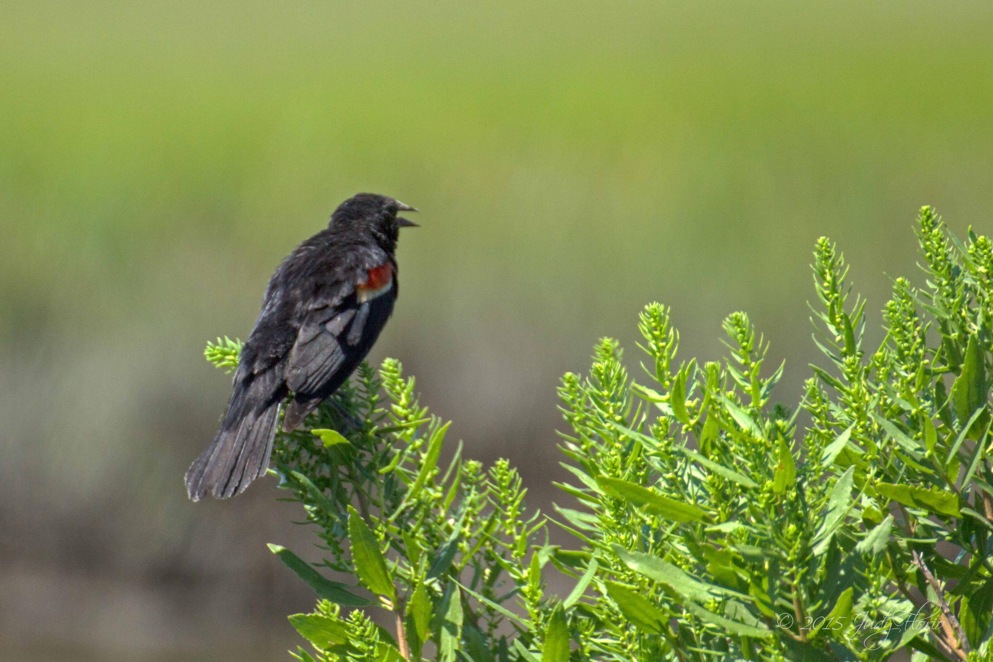 Red wing blackbird by Judy Florio