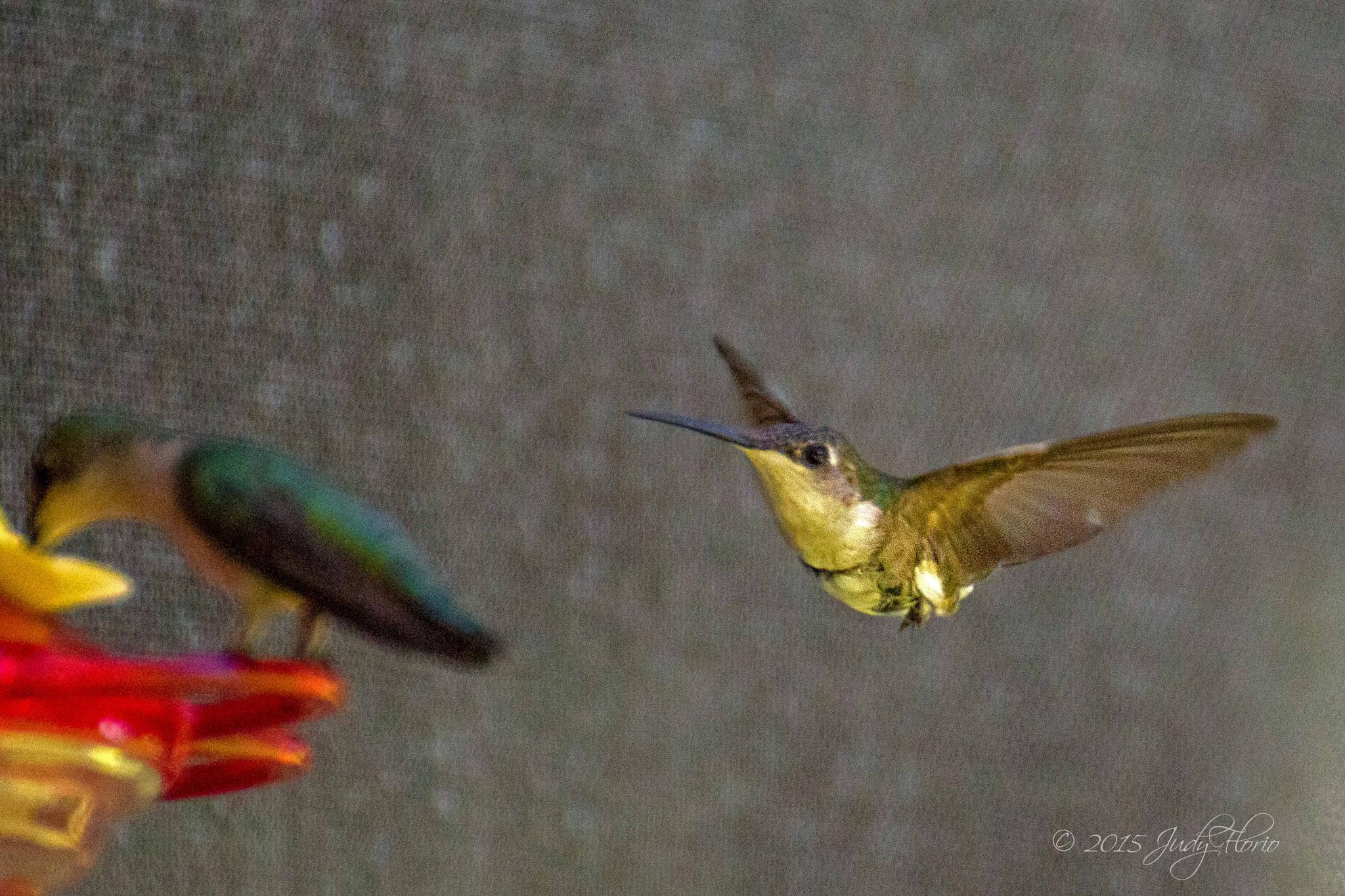 Hummingbirds at the feeder by Judy Florio