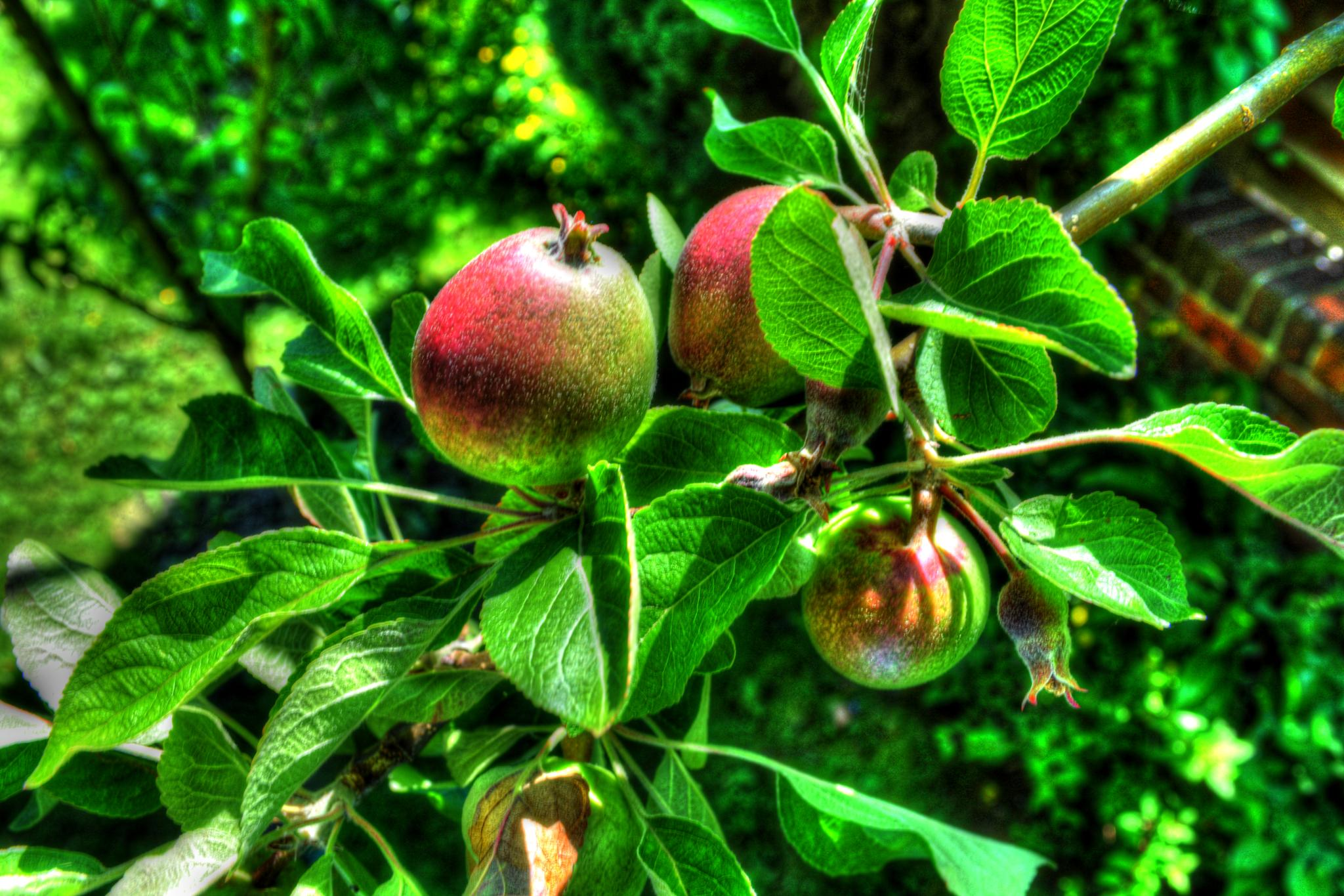 Photo in Nature #apples #fruit #tree #nature #plant #garden #gardening #view #landscape #urban