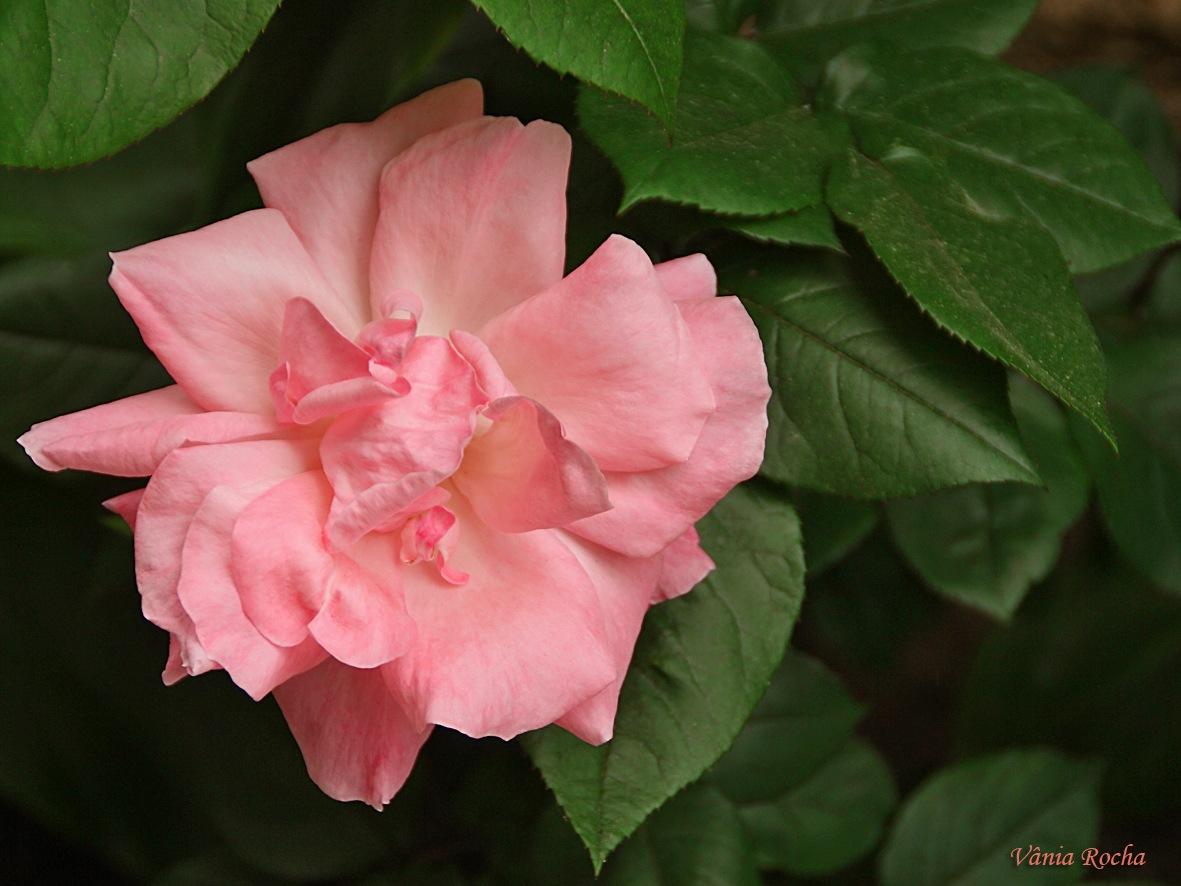 #pinkrose# by vaneaandrea