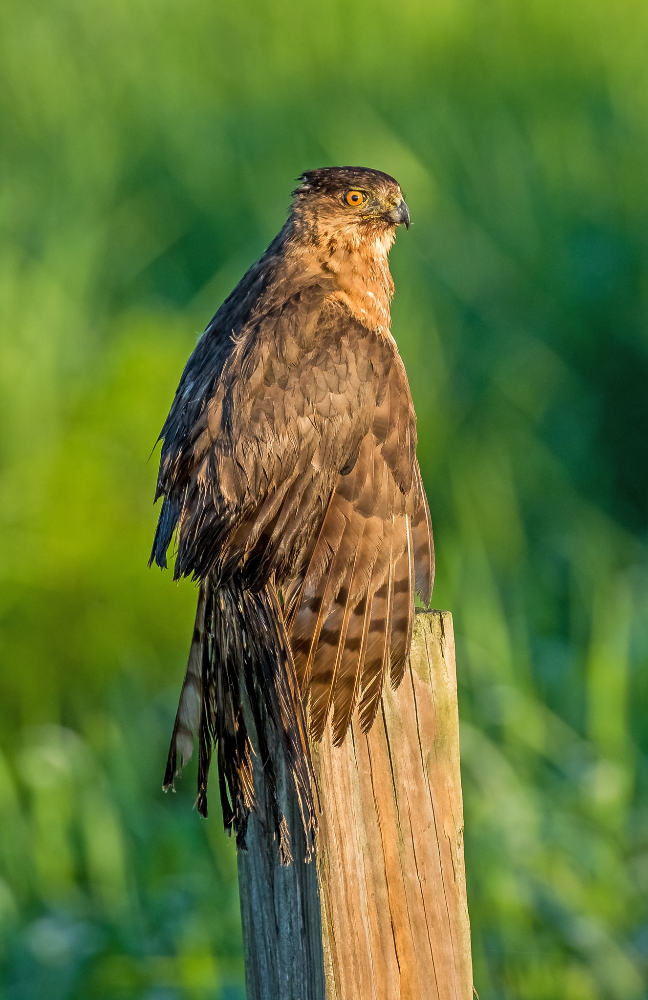 A very cooperative Cooper's hawk by Barry Melamed
