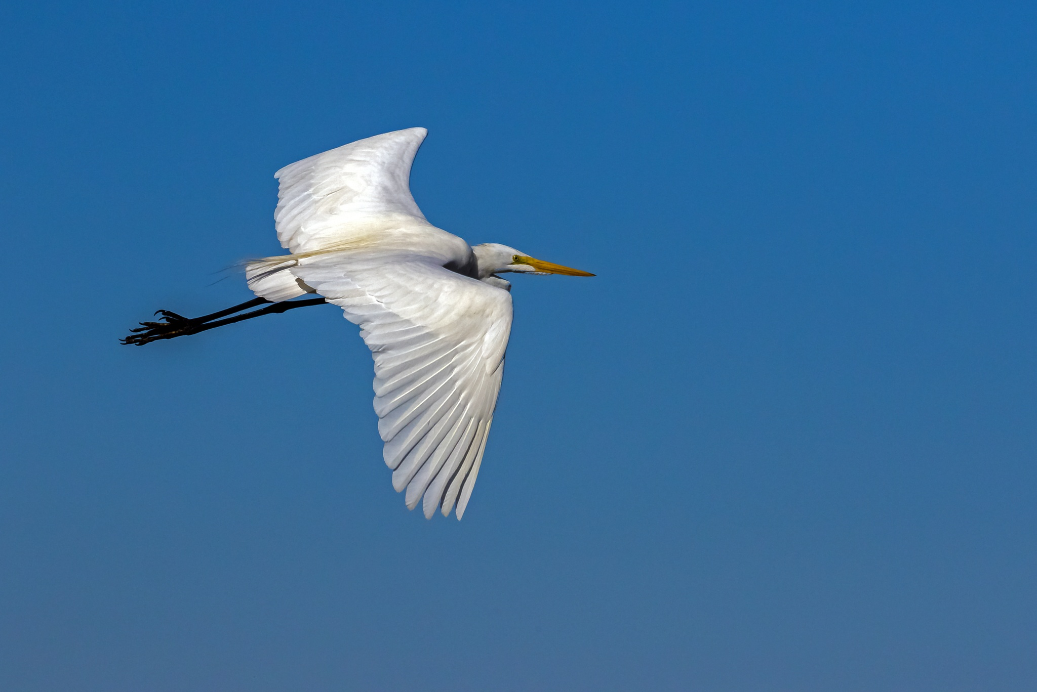 Great Egret: White on Blue by Barry Melamed