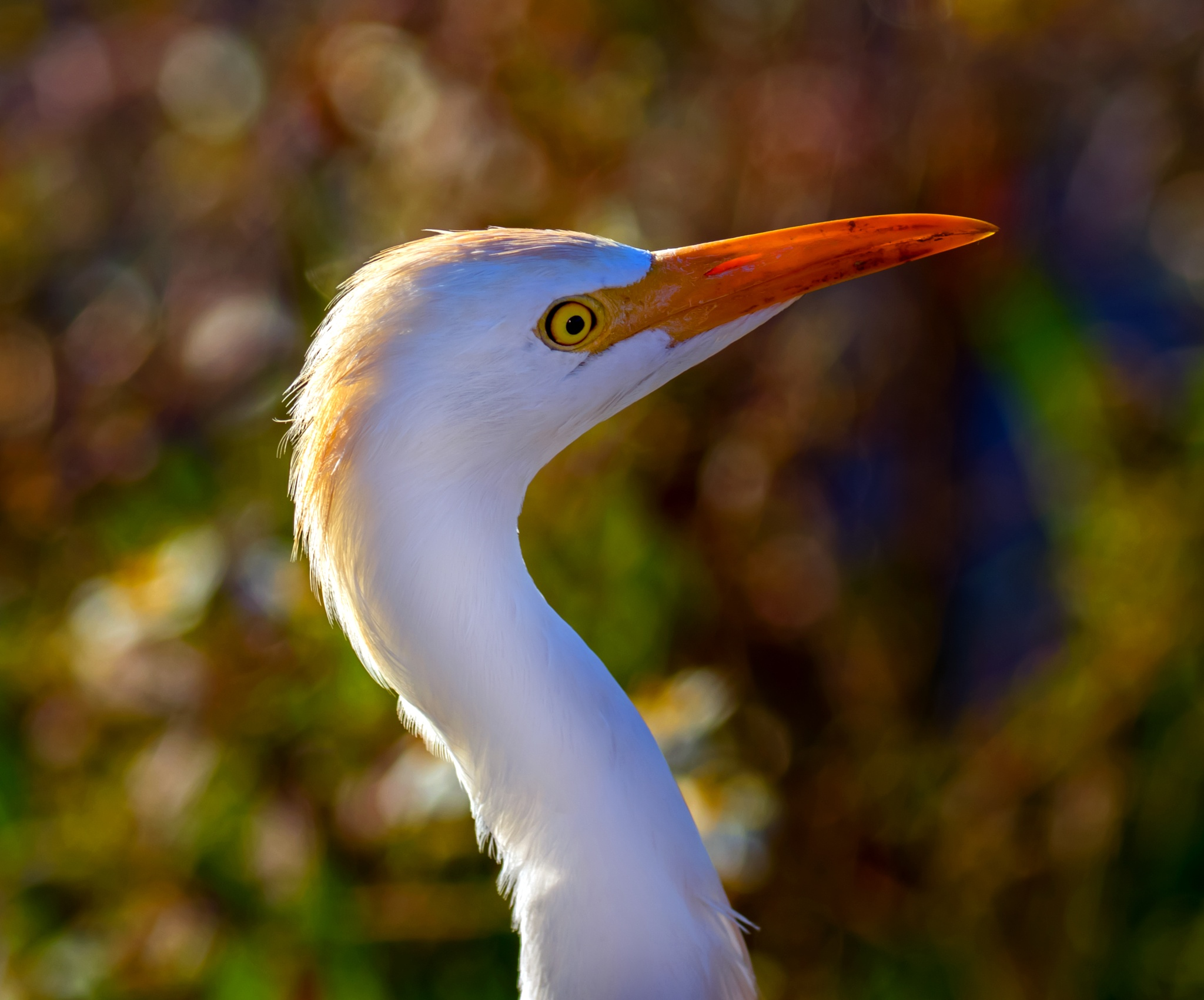Cattle Egret Portrait  by Barry Melamed