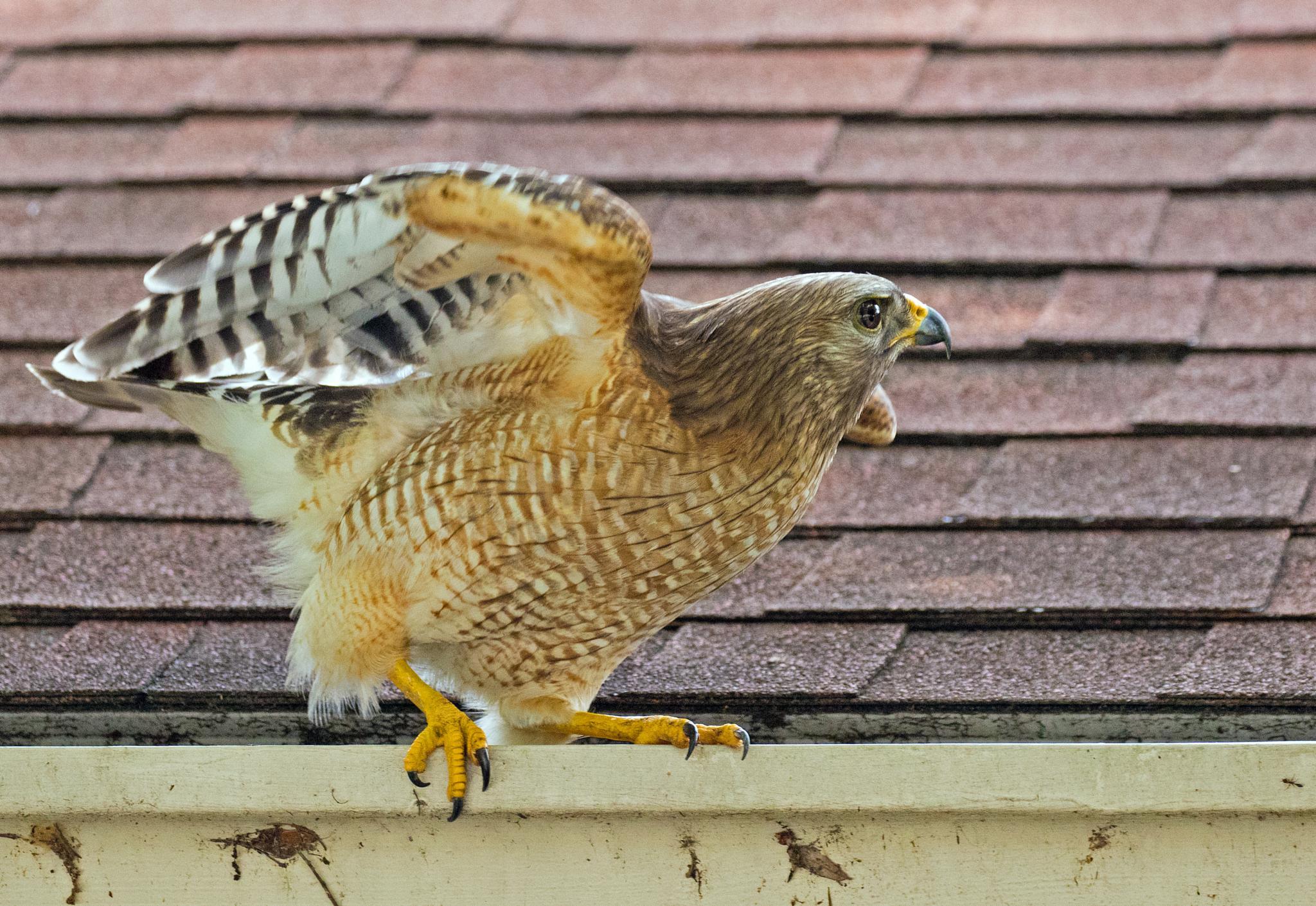Red-shouldered Hawk by Barry Melamed