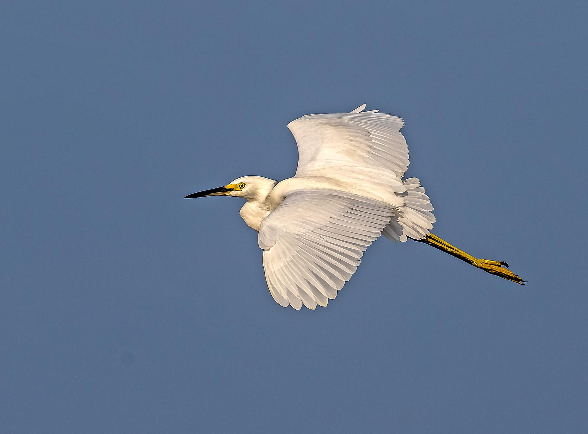 Snowy Egret Fly-by by Barry Melamed