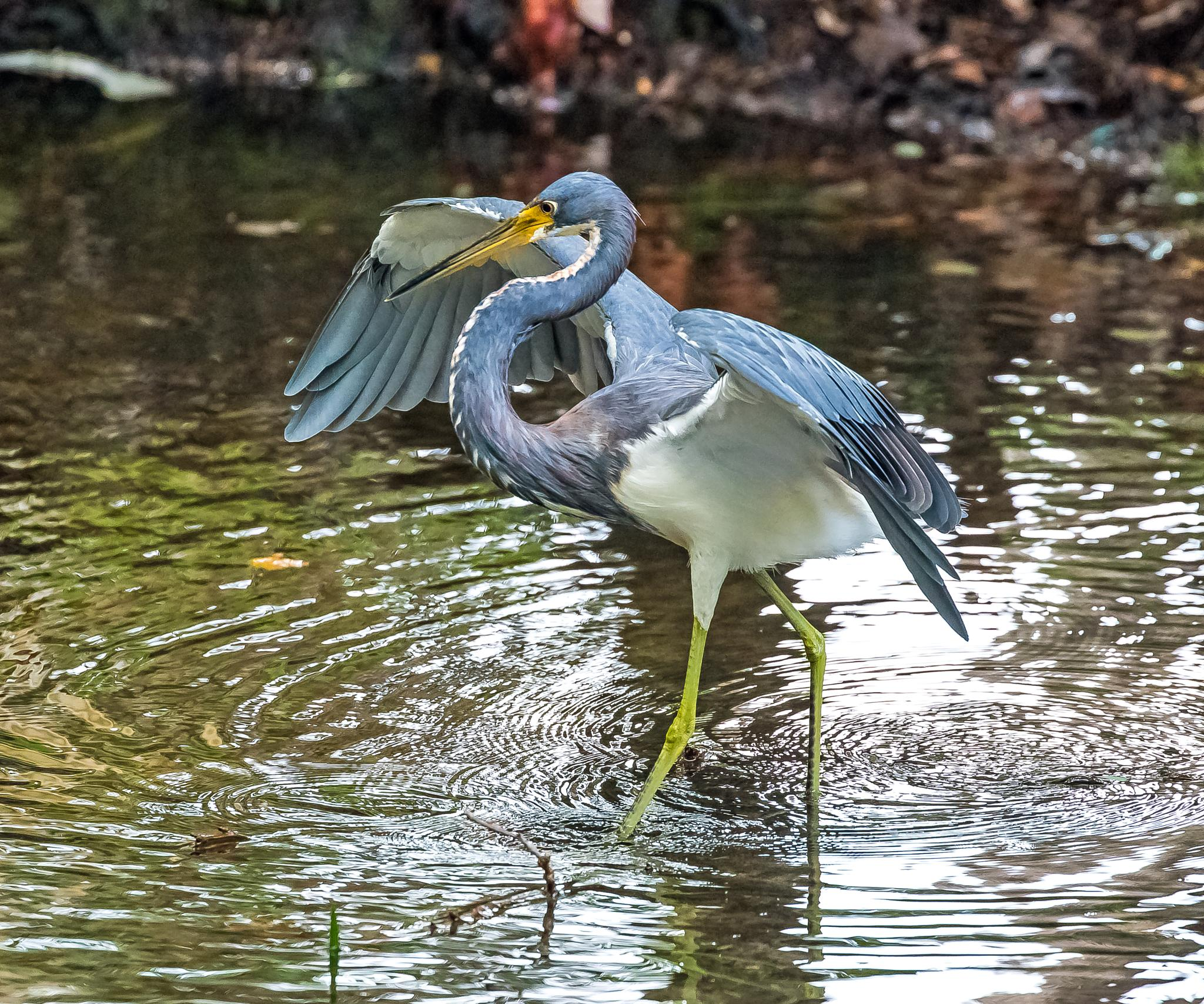 Tri-Colored Heron Posing by Barry Melamed