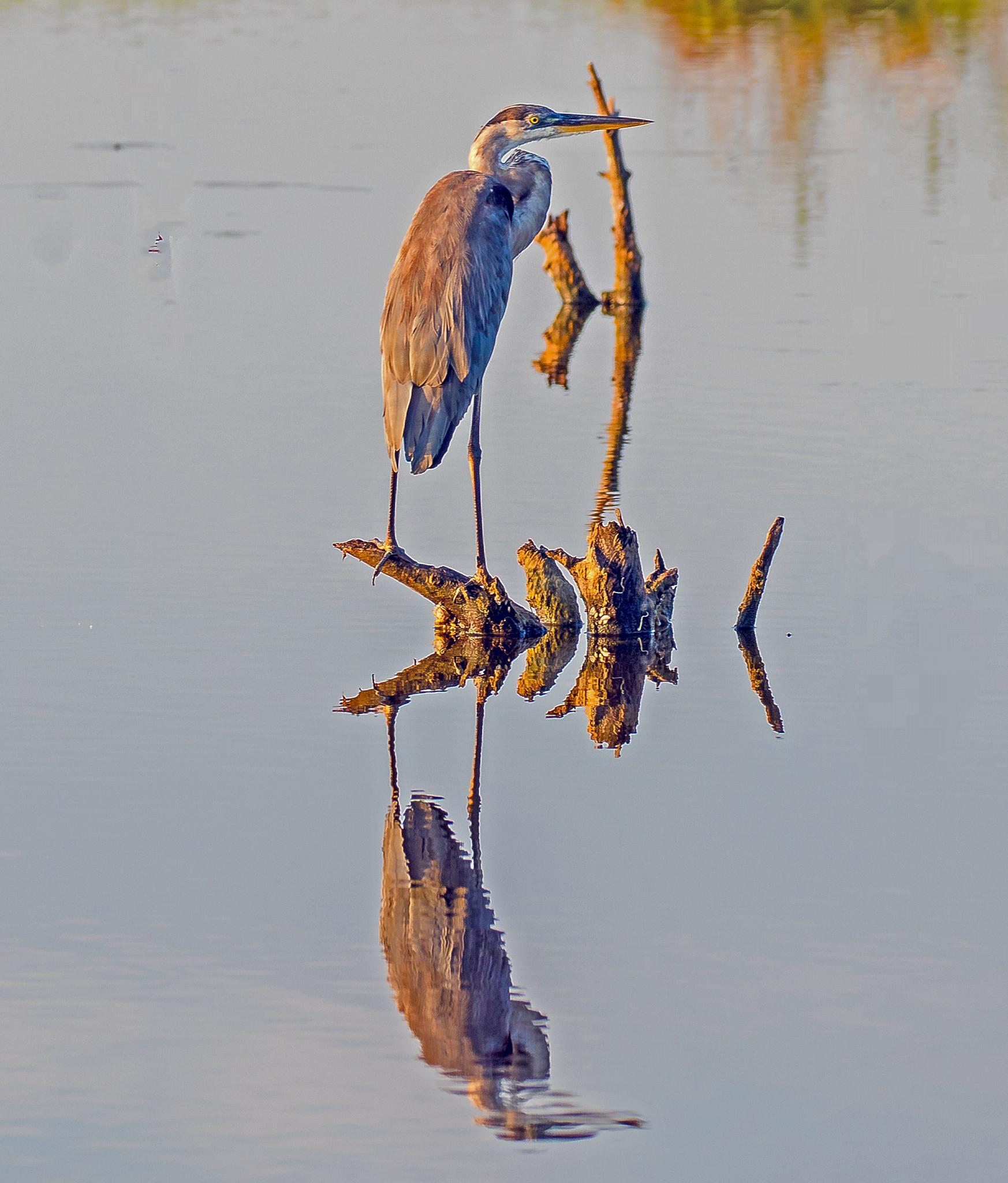 Great Blue Refections by Barry Melamed