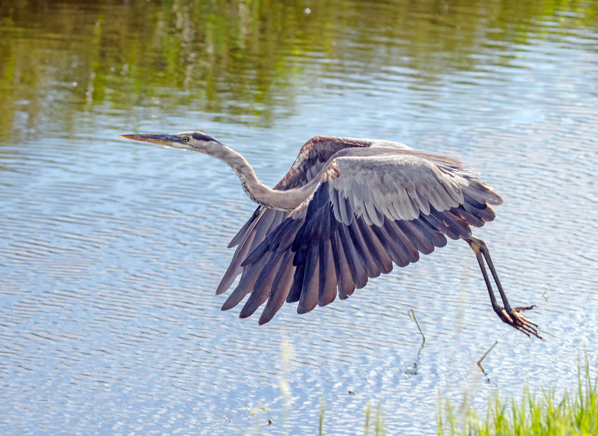 Great Blue on the Move by Barry Melamed
