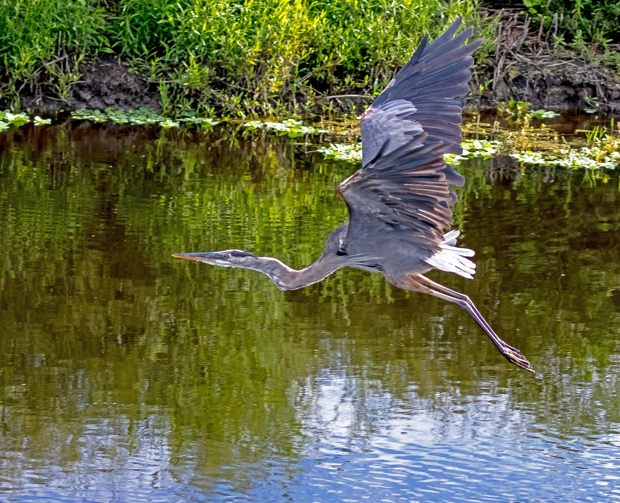 Great Blue by Barry Melamed