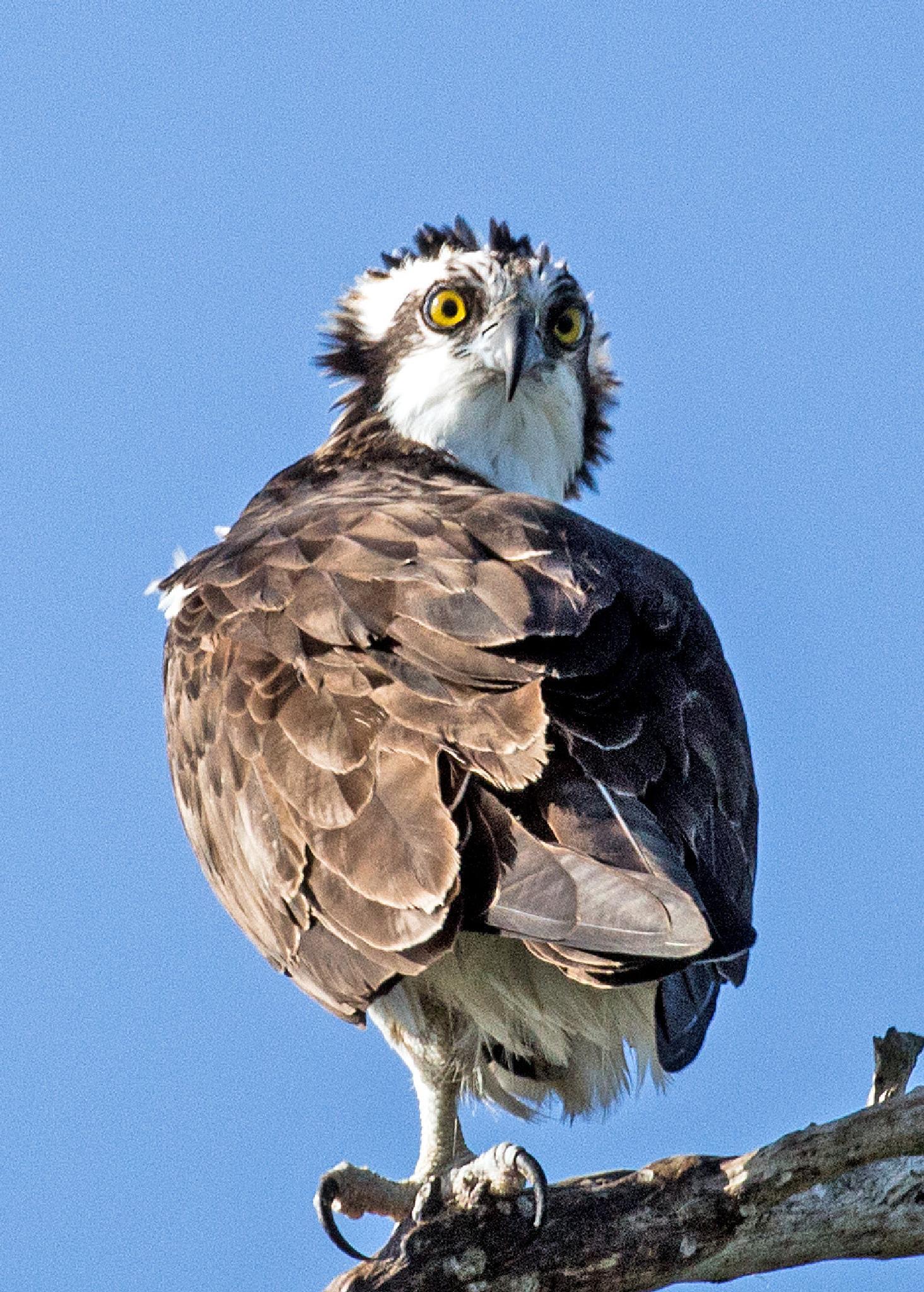 Osprey Wonderment  by Barry Melamed