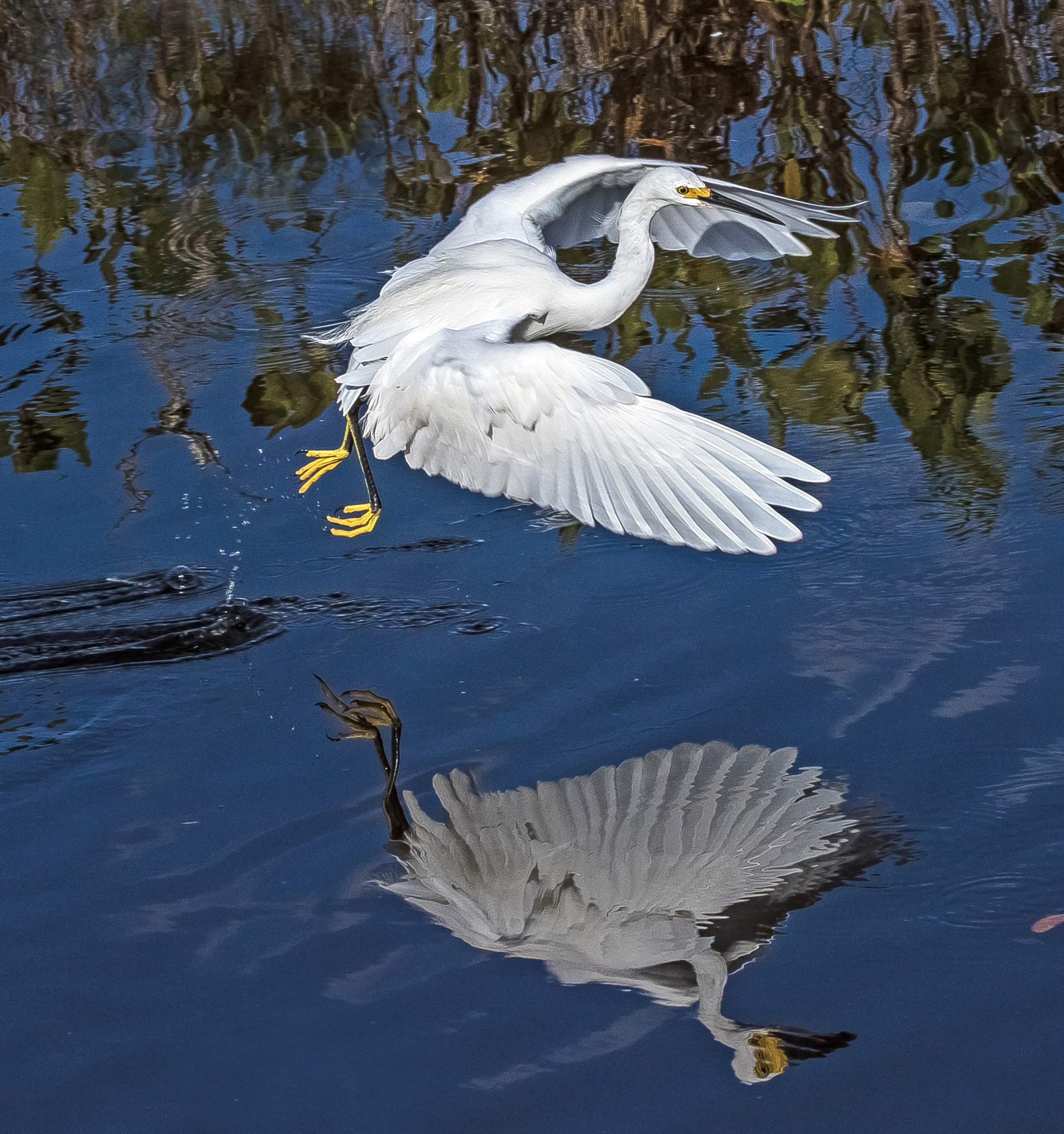 Snowy Egret Reflection by Barry Melamed