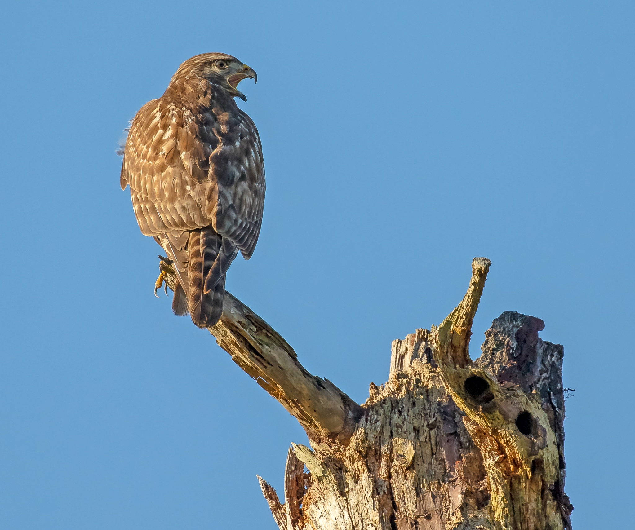 Angry Hawk by Barry Melamed