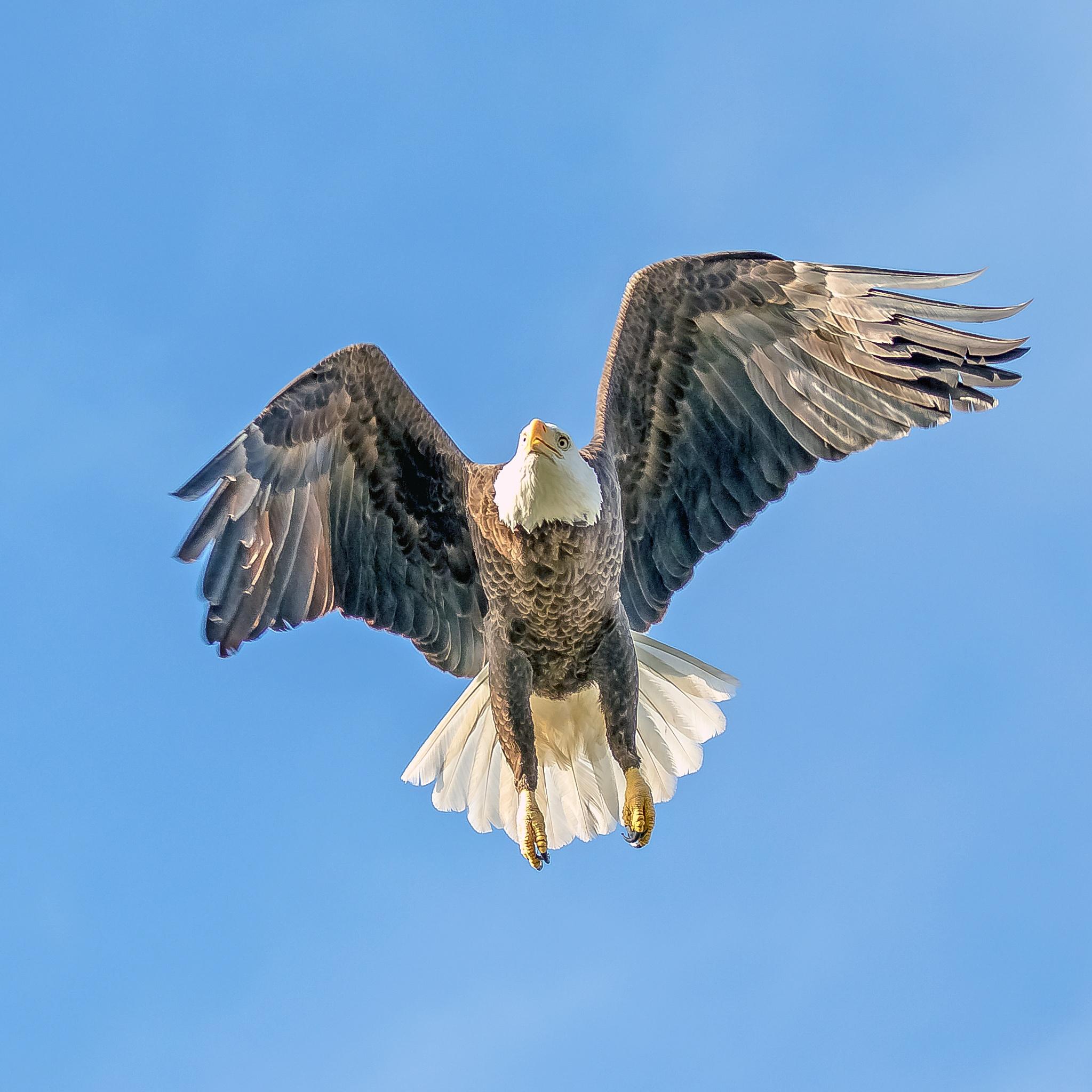 Bald Eagle Hunting II by Barry Melamed