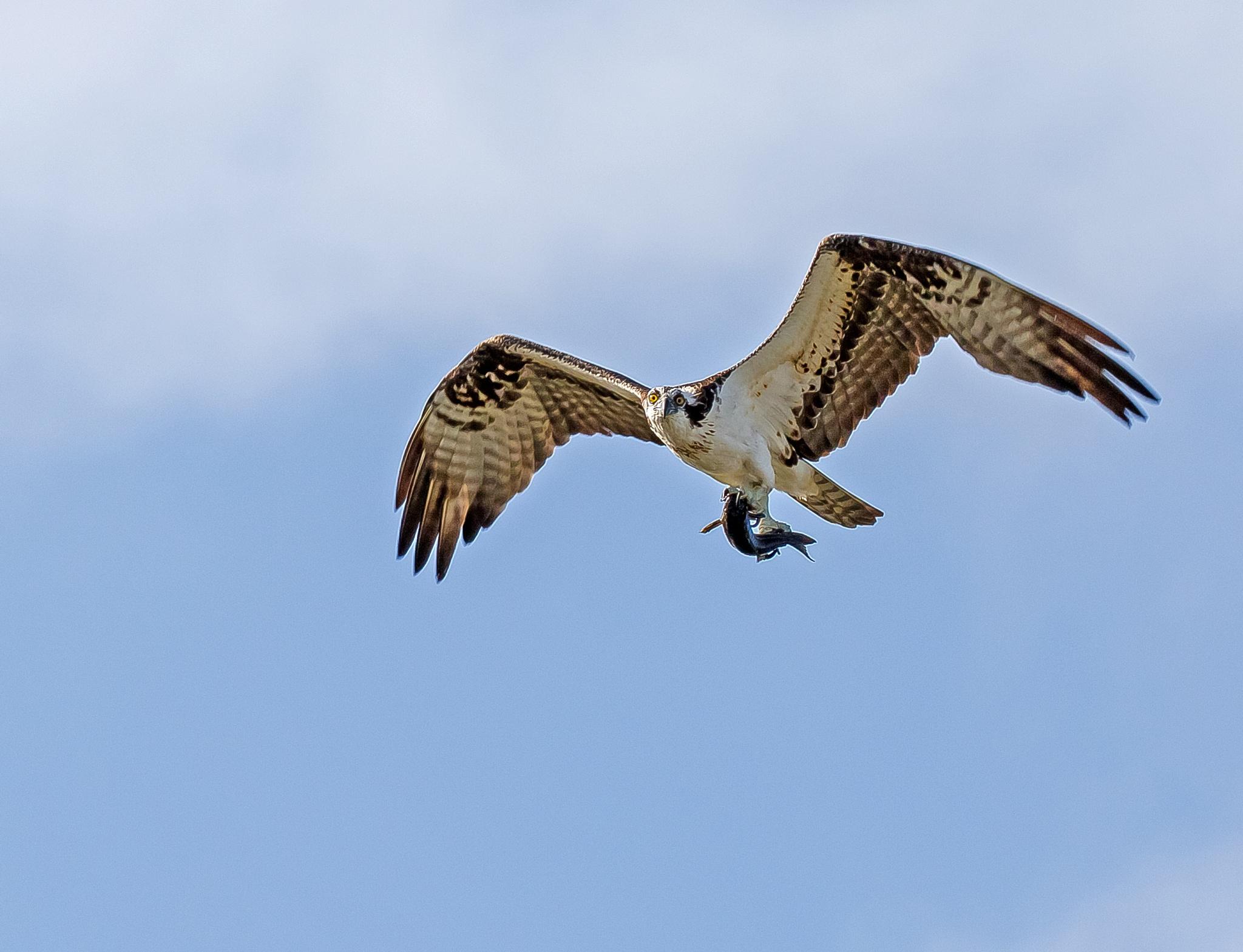Osprey with Breakfast by Barry Melamed