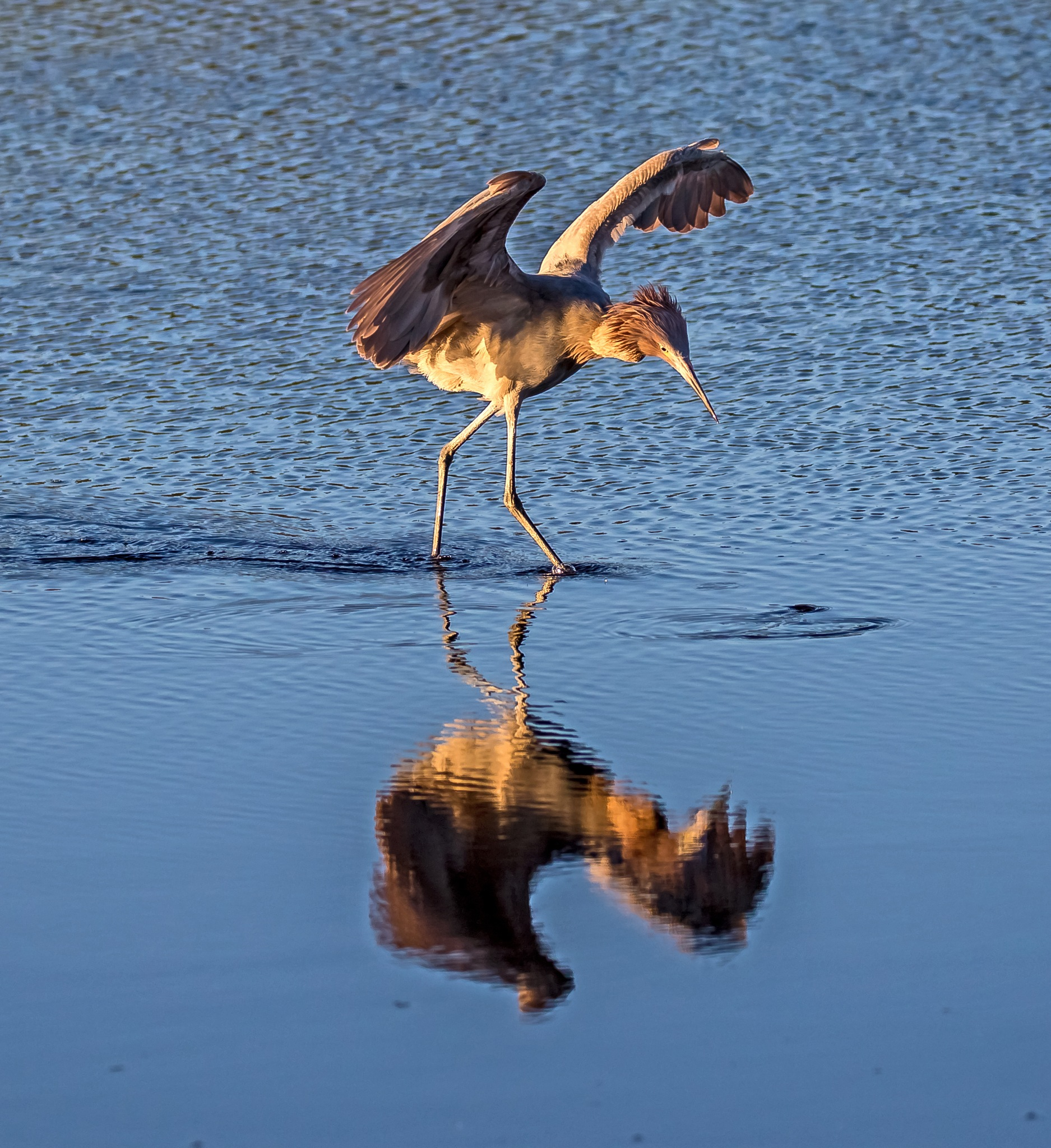 Reddish Egret Dance by Barry Melamed