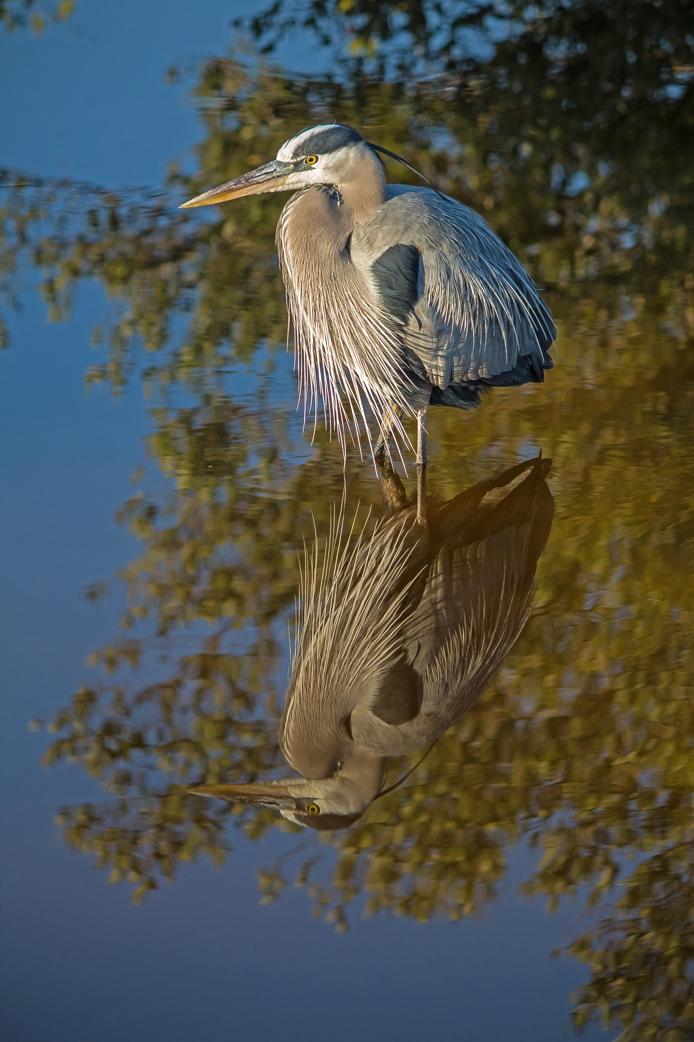 Great Blue Heron Reflection by Barry Melamed