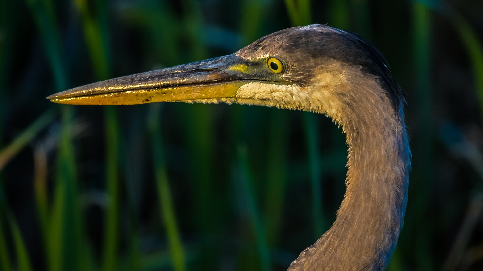 Great Blue Up Close and Personal by Barry Melamed