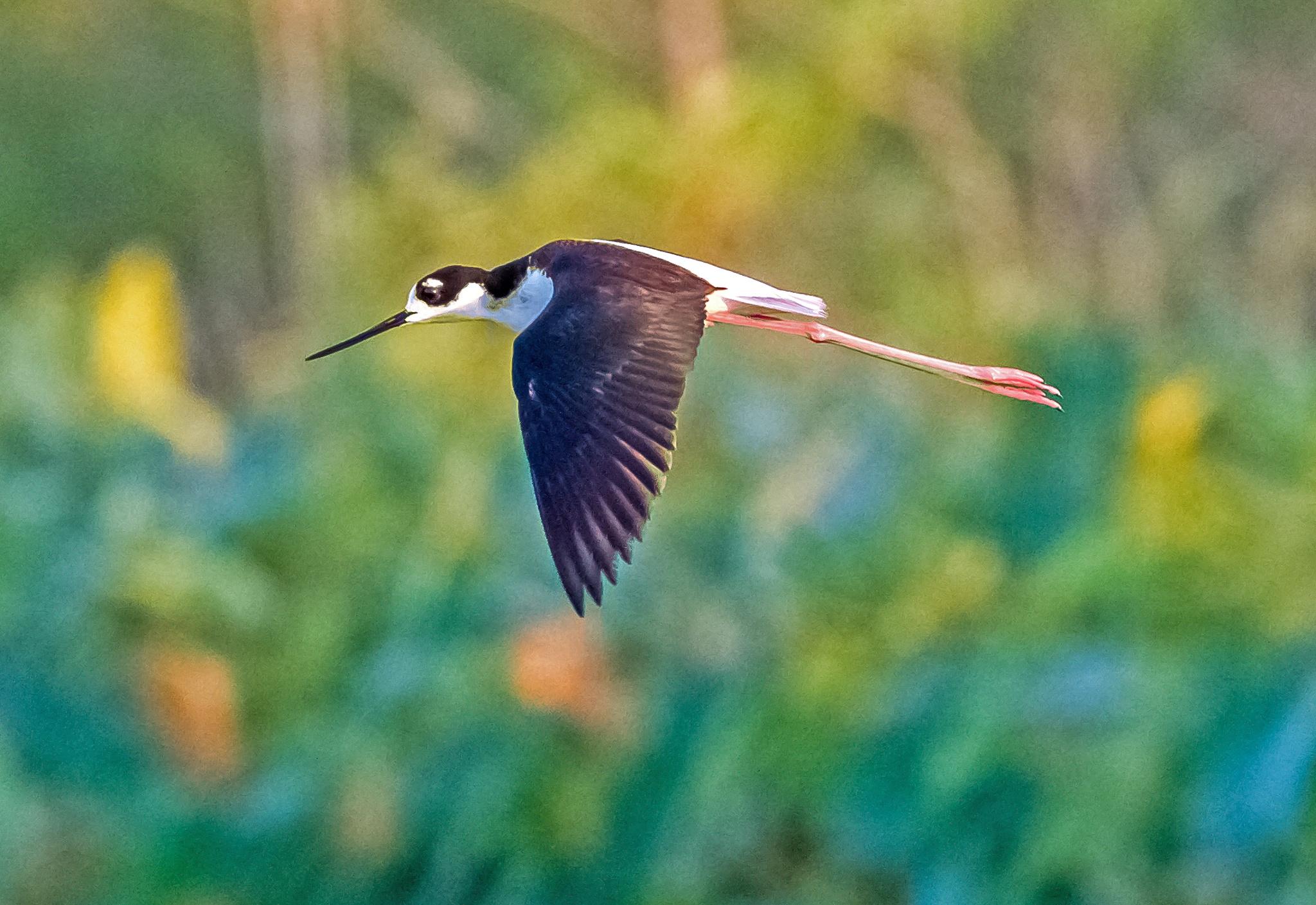 Black-necked Still Gliding By by Barry Melamed