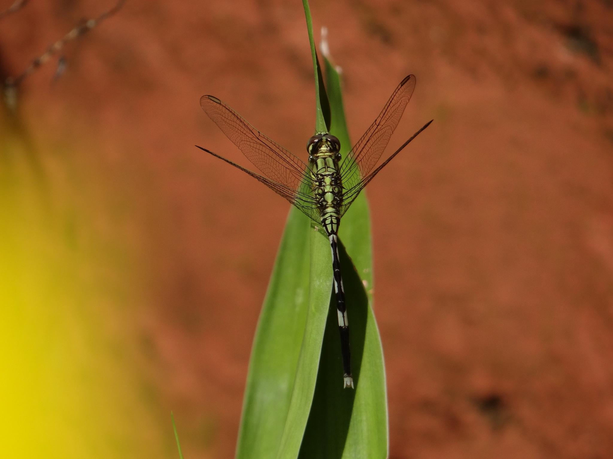 Green Dragonfly by PCSphotography