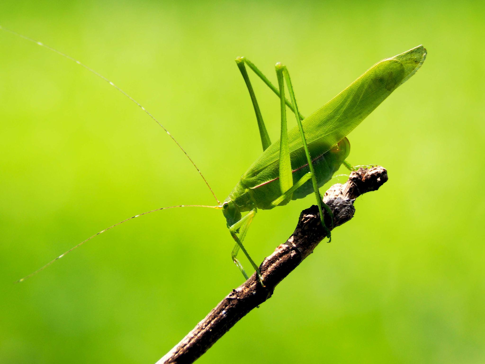 Long-horned grasshopper by Tran Ngoc Nghi