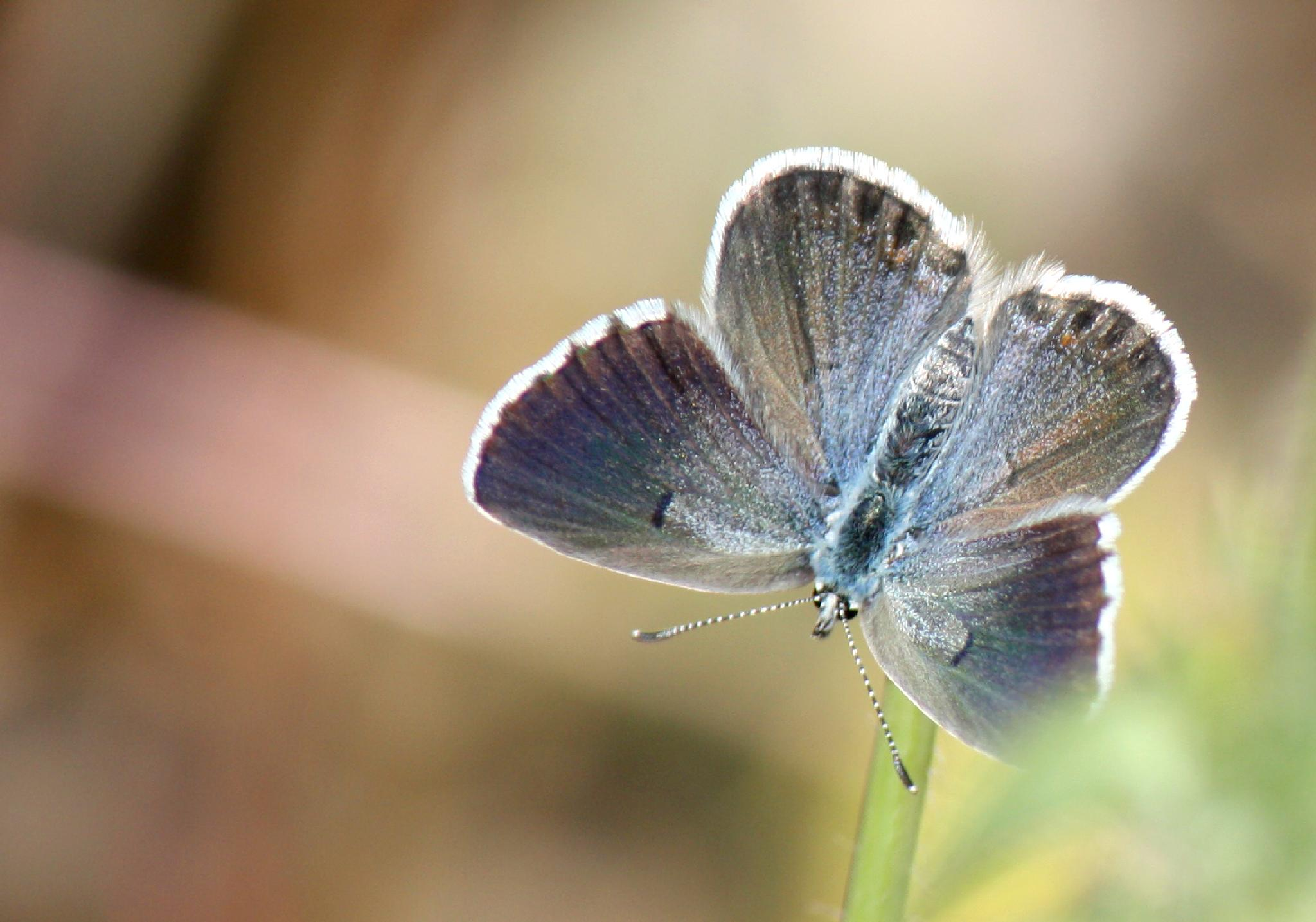Blue butterfly by nofiphotography