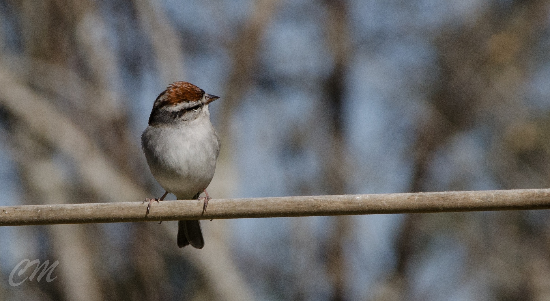 Chipping Sparrow by Christina Minor