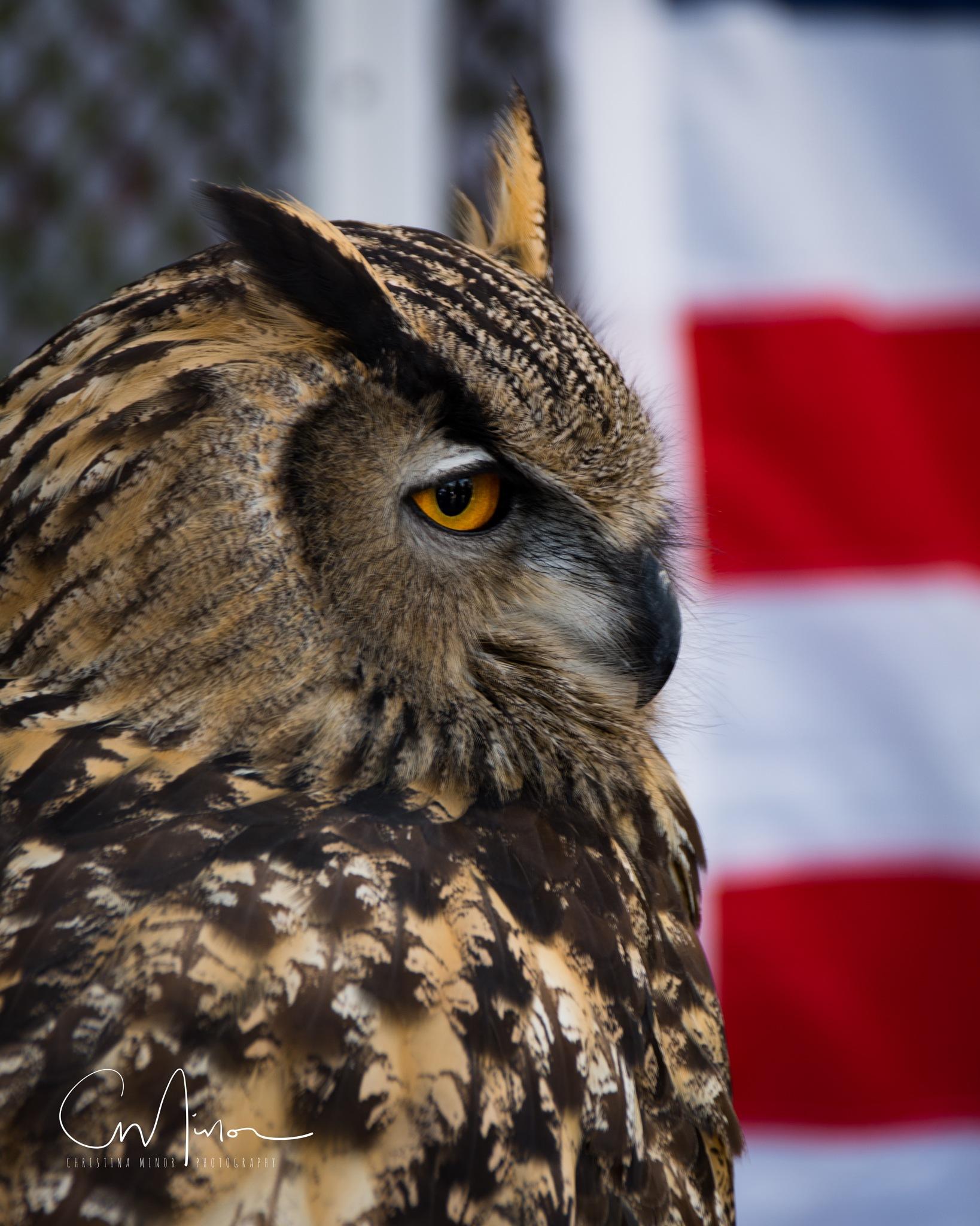 European Horned Owl by Christina Minor
