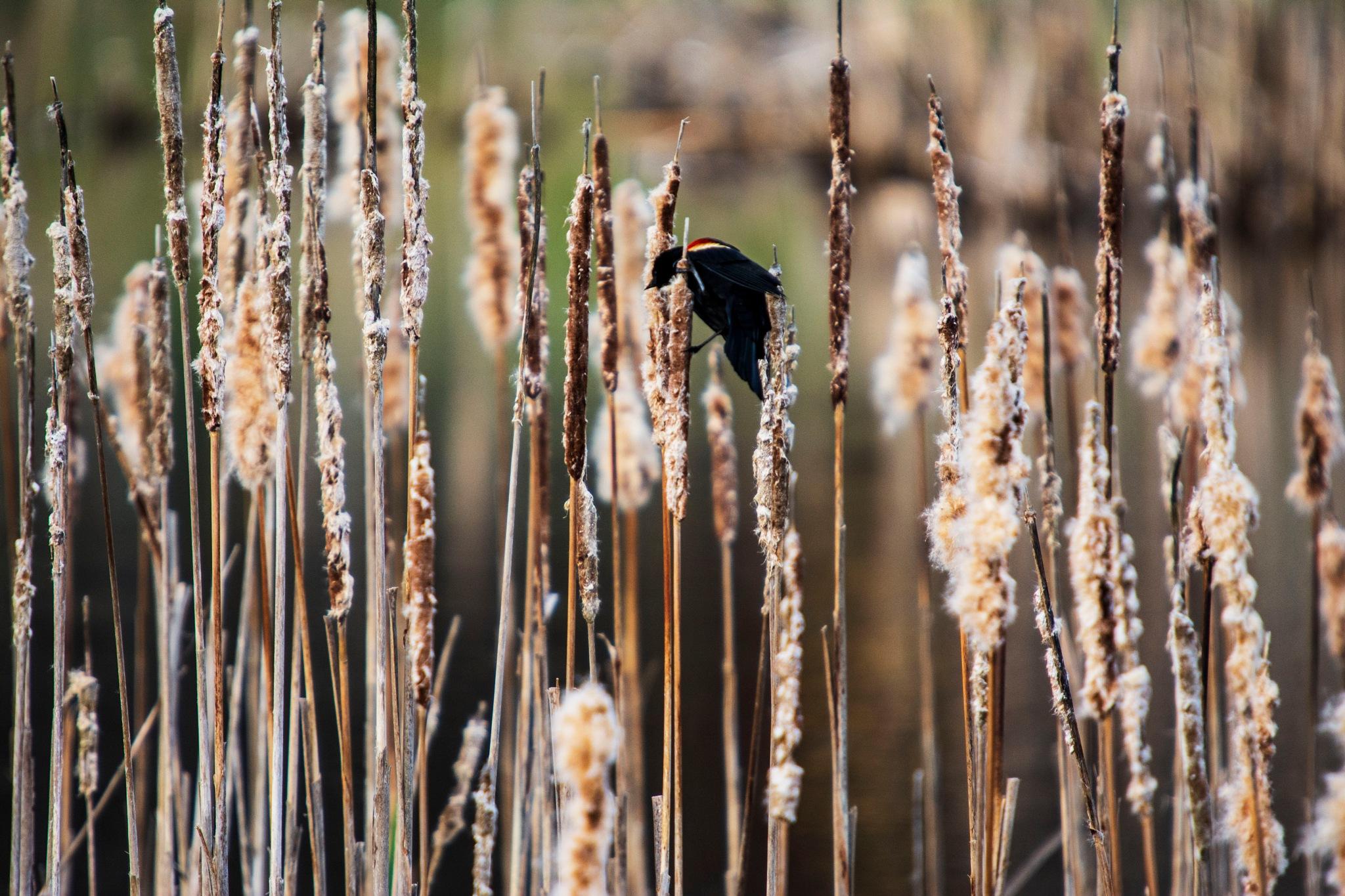 Red Winged Black Bird by Wayne L. Talbot