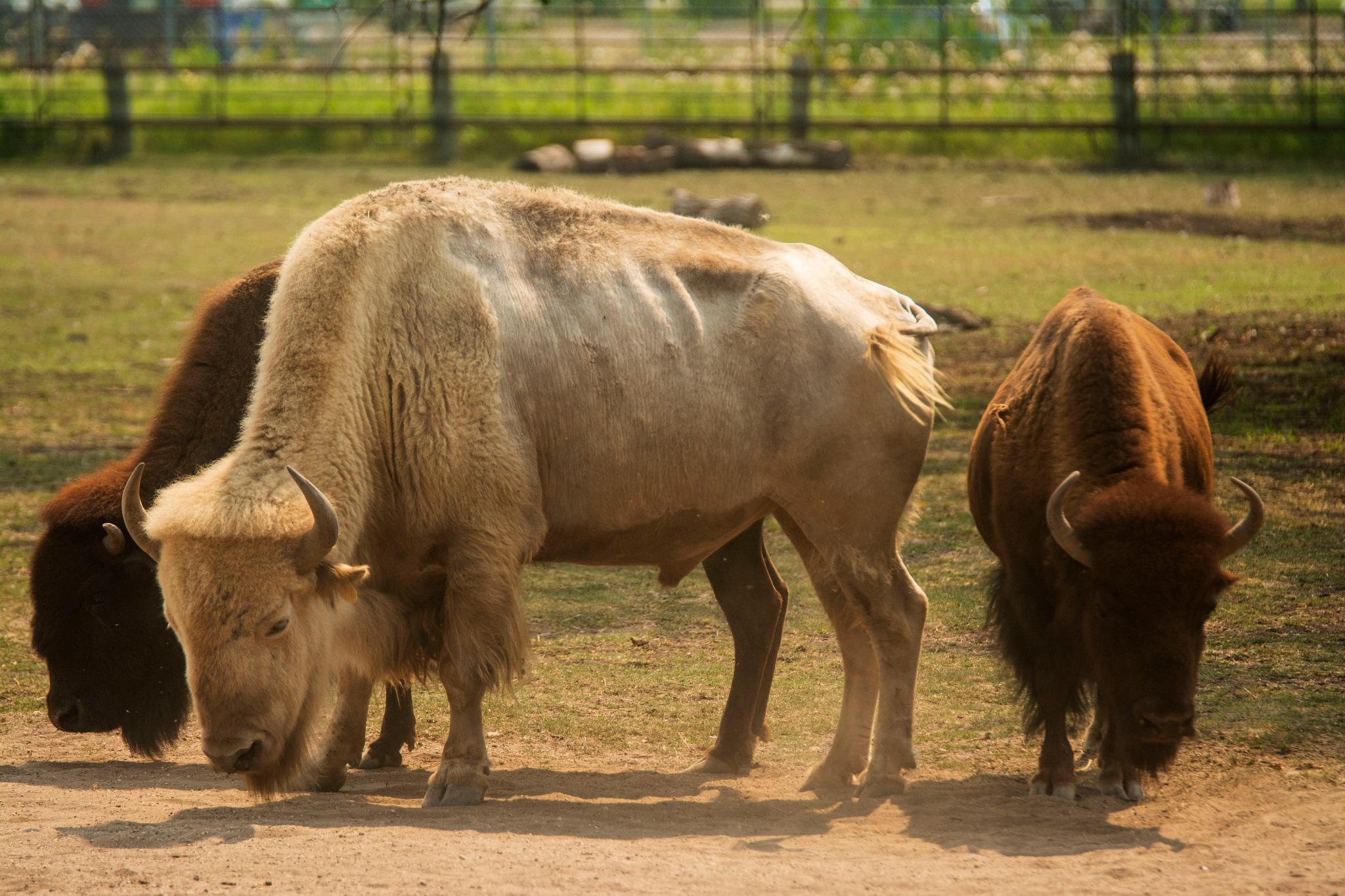 Bison  by Wayne L. Talbot