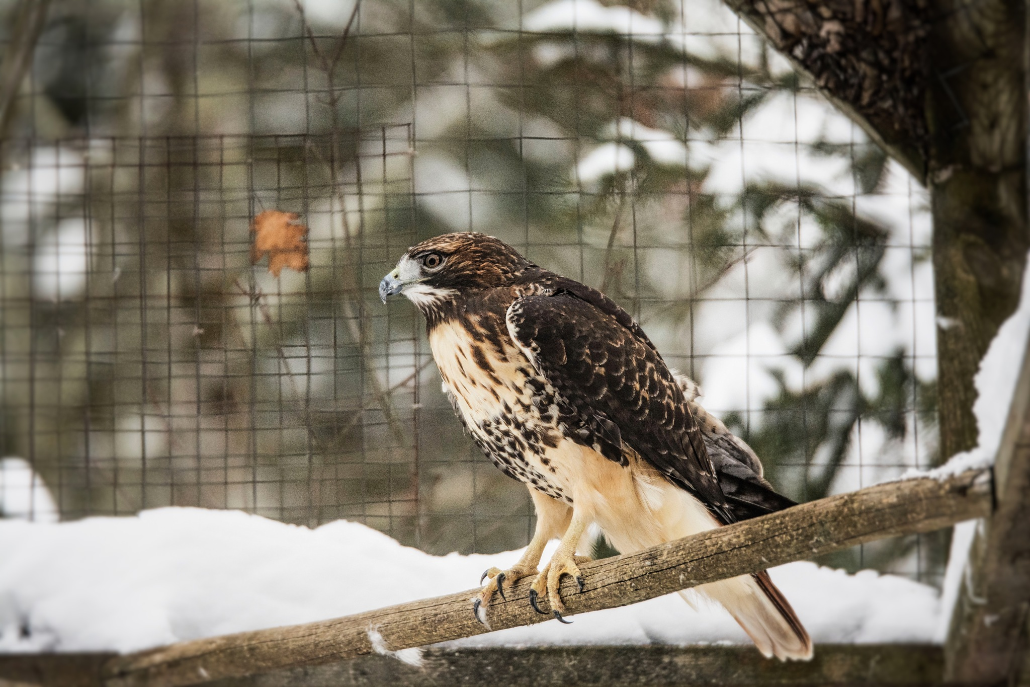 Red Tailed Hawk in Captivity  by Wayne L. Talbot