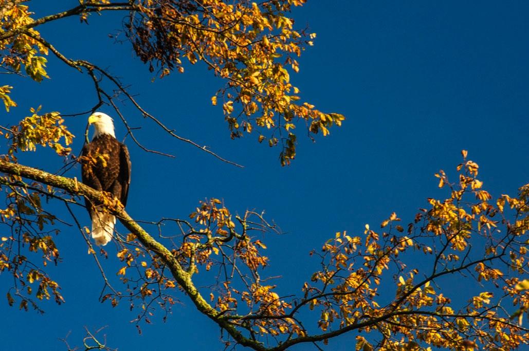 Bald Eagle by Wayne L. Talbot