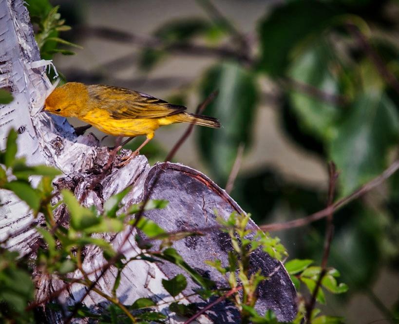 Little Song Bird by Wayne L. Talbot