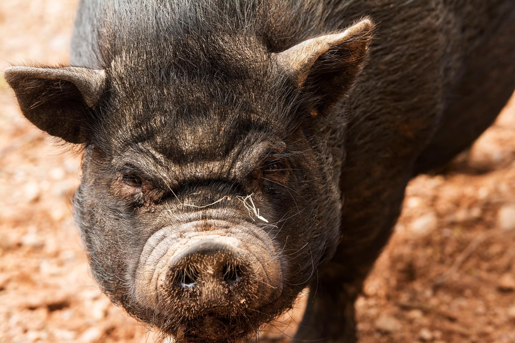 Hog by Wayne L. Talbot