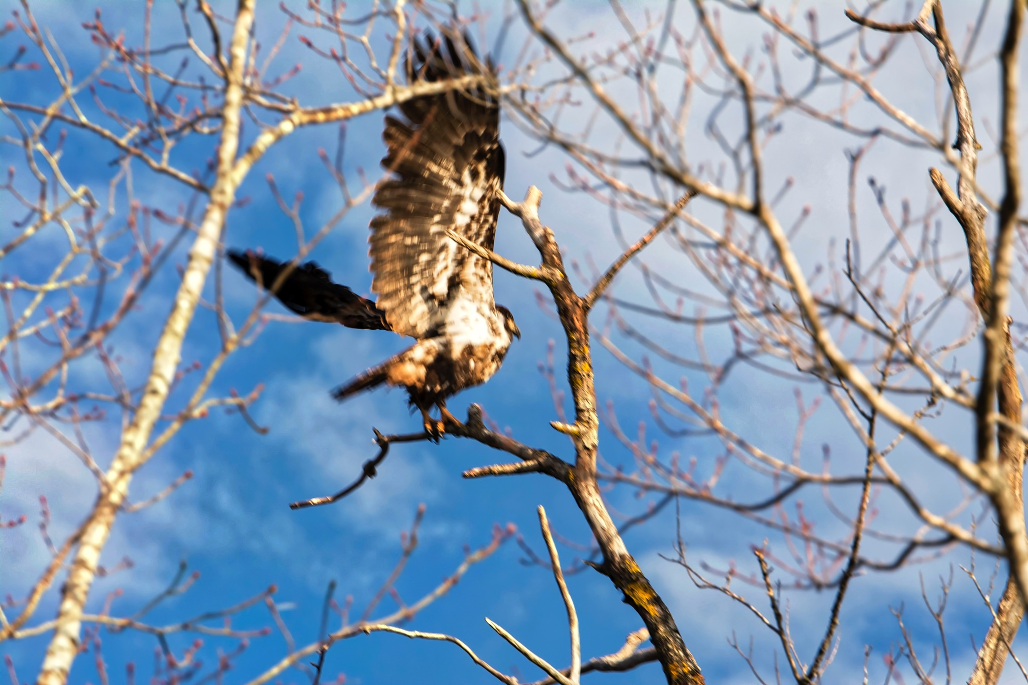 Young Bald Eagle by Wayne L. Talbot