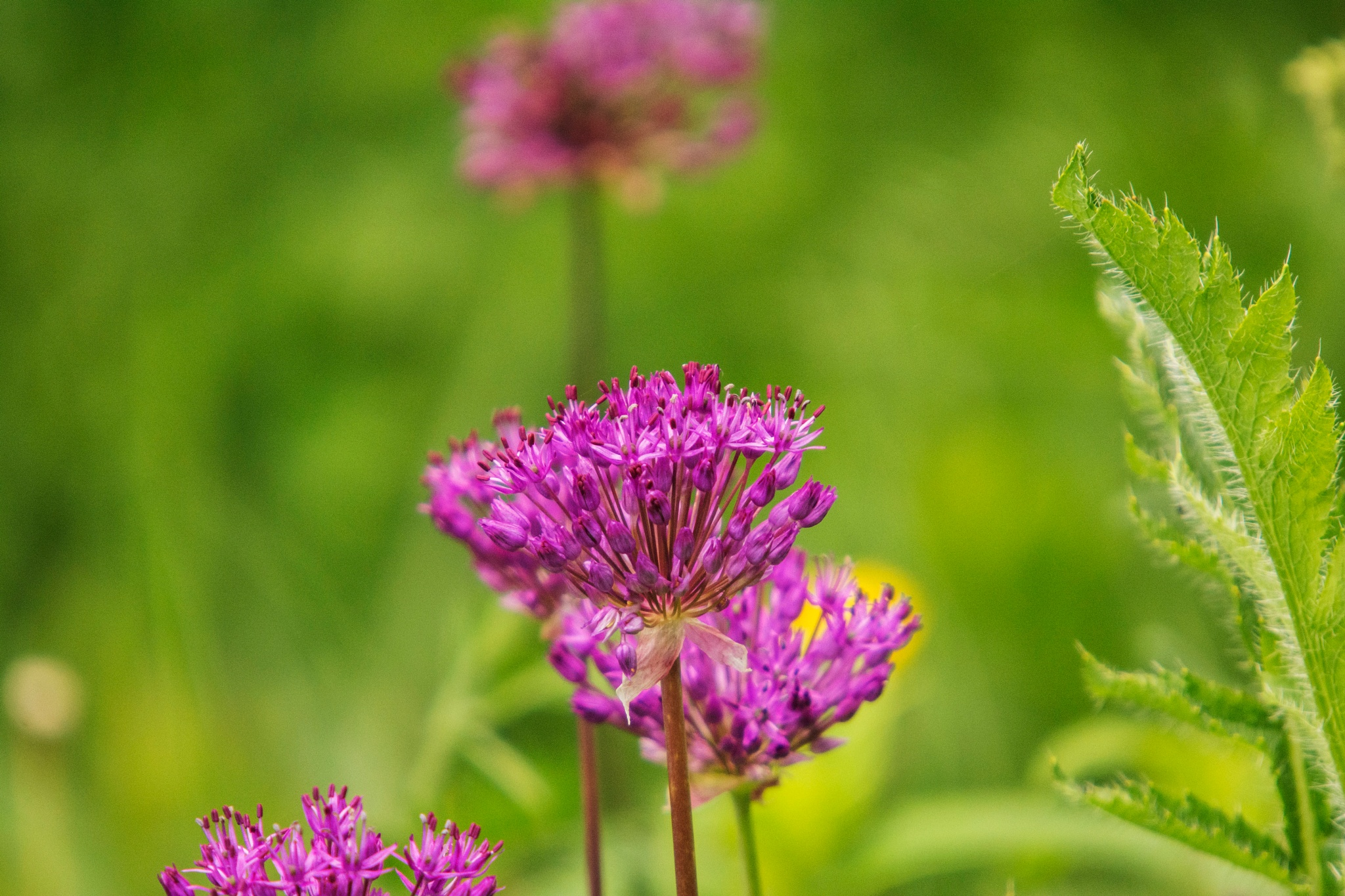 Purple Weed by Wayne L. Talbot