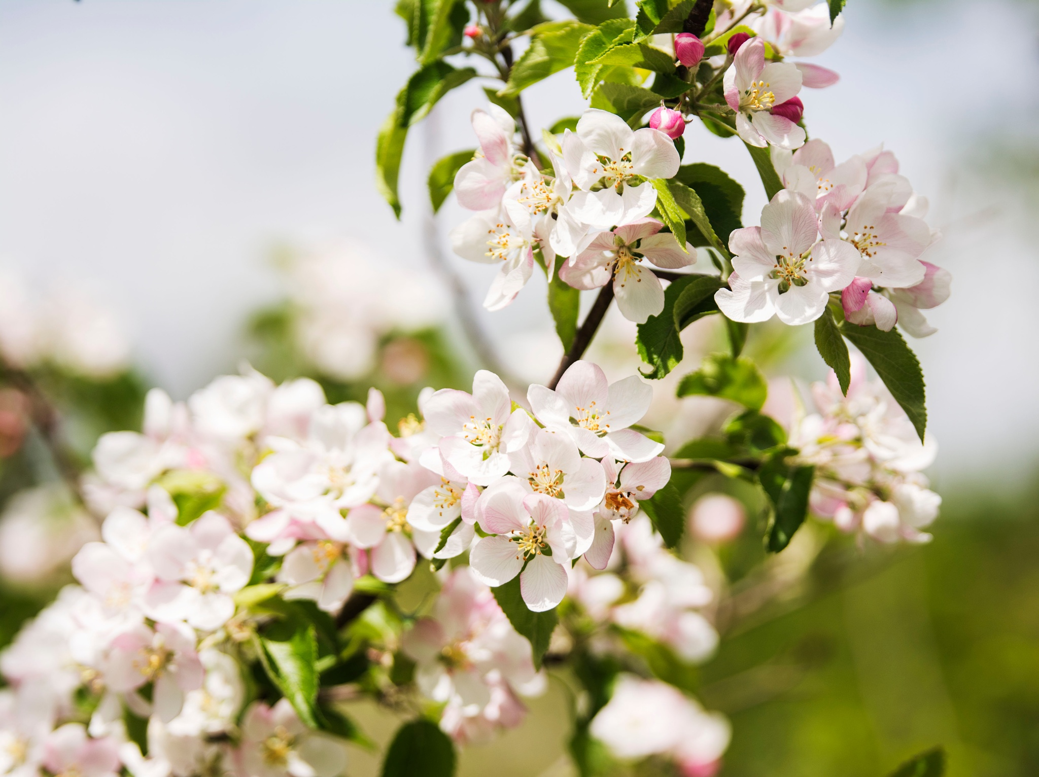 Apple Blossoms by Wayne L. Talbot