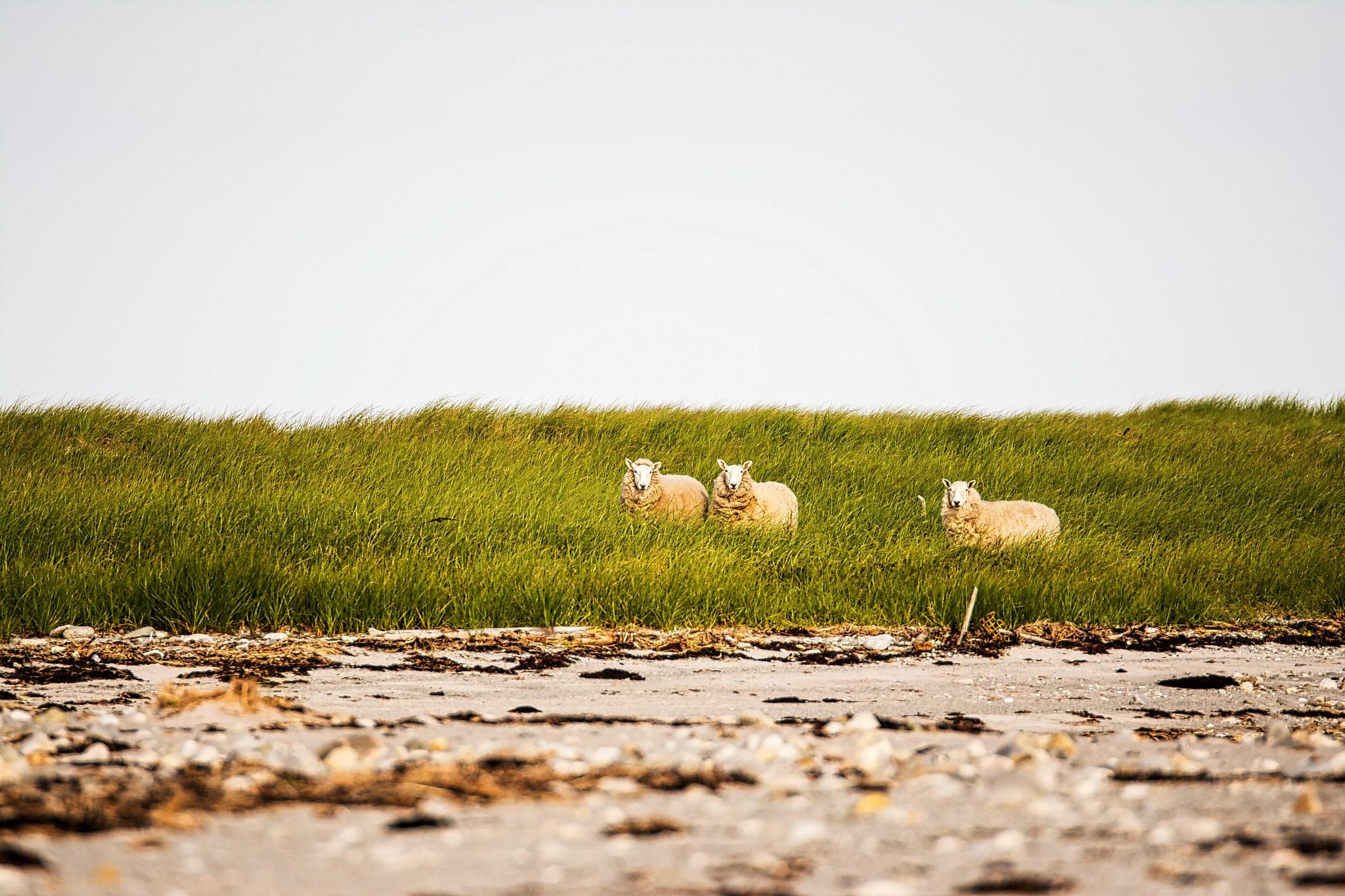 Sheep by Wayne L. Talbot