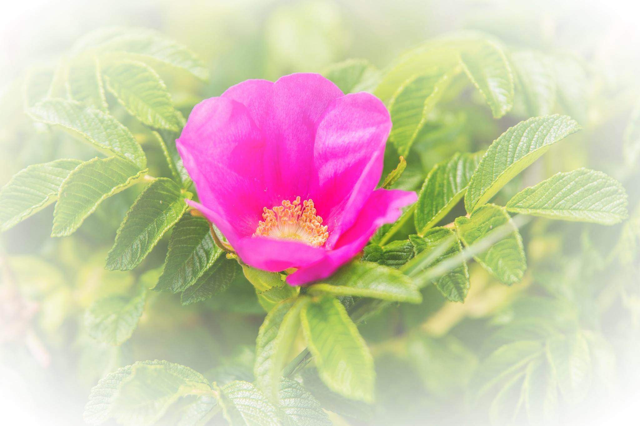 Rose by Wayne L. Talbot