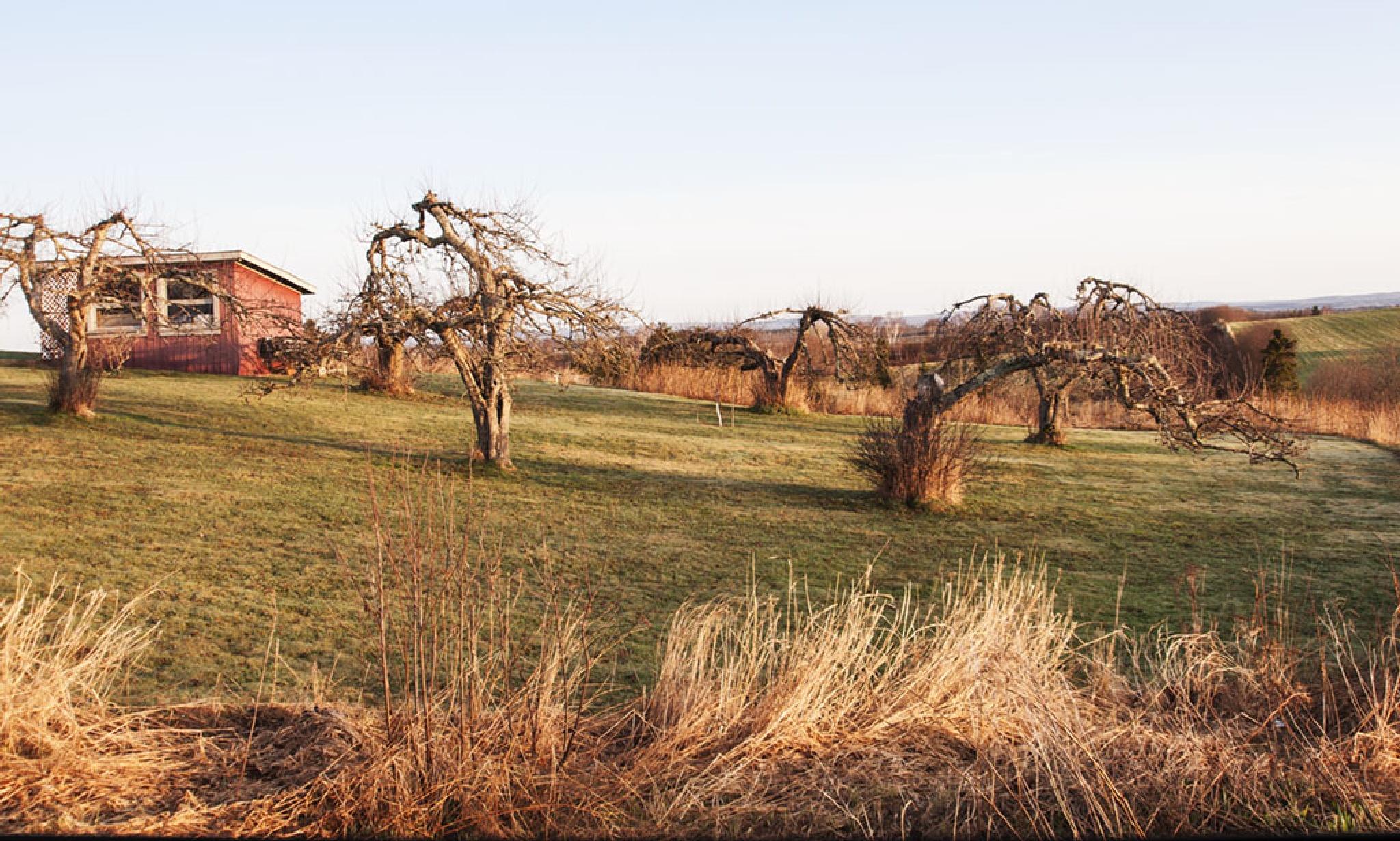 Barren Apple Trees by Wayne L. Talbot