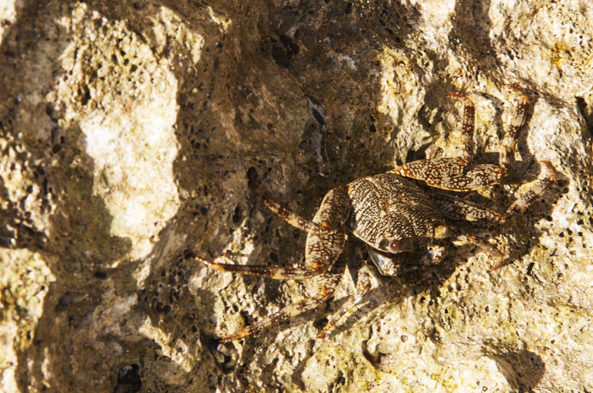 Crab Blending-In by Wayne L. Talbot
